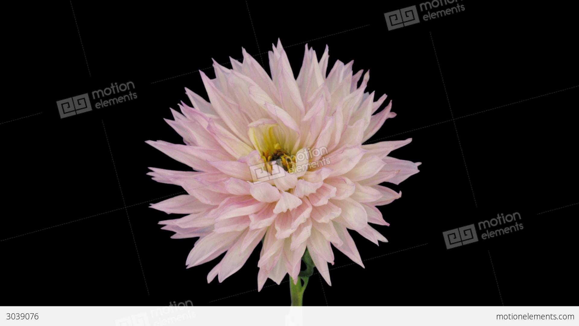 Time lapse of dying pink dahlia flower 6x1 stock video footage 3039076 time lapse of dying pink dahlia flower 6x1 stock video footage izmirmasajfo