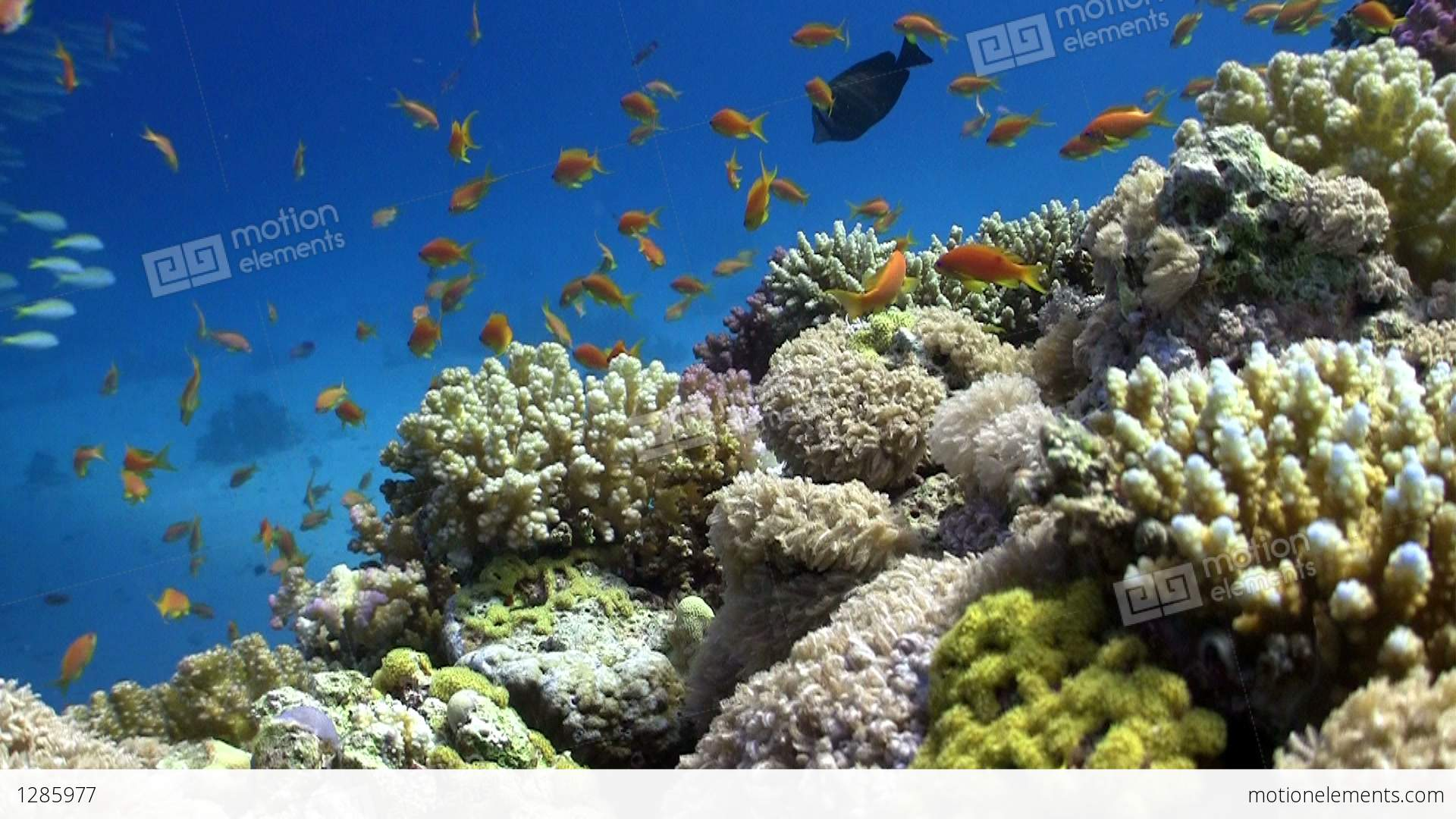 Colorful Fish On Vibrant Coral Reef, Red Sea Stock video ...