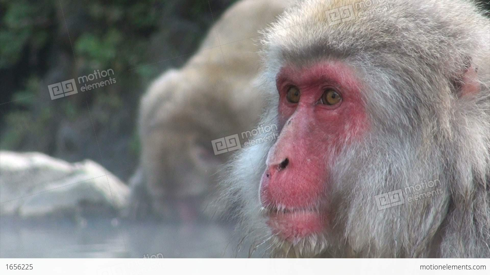 Beautiful Face Of Snow Monkey And Drinking Monke Stock Video