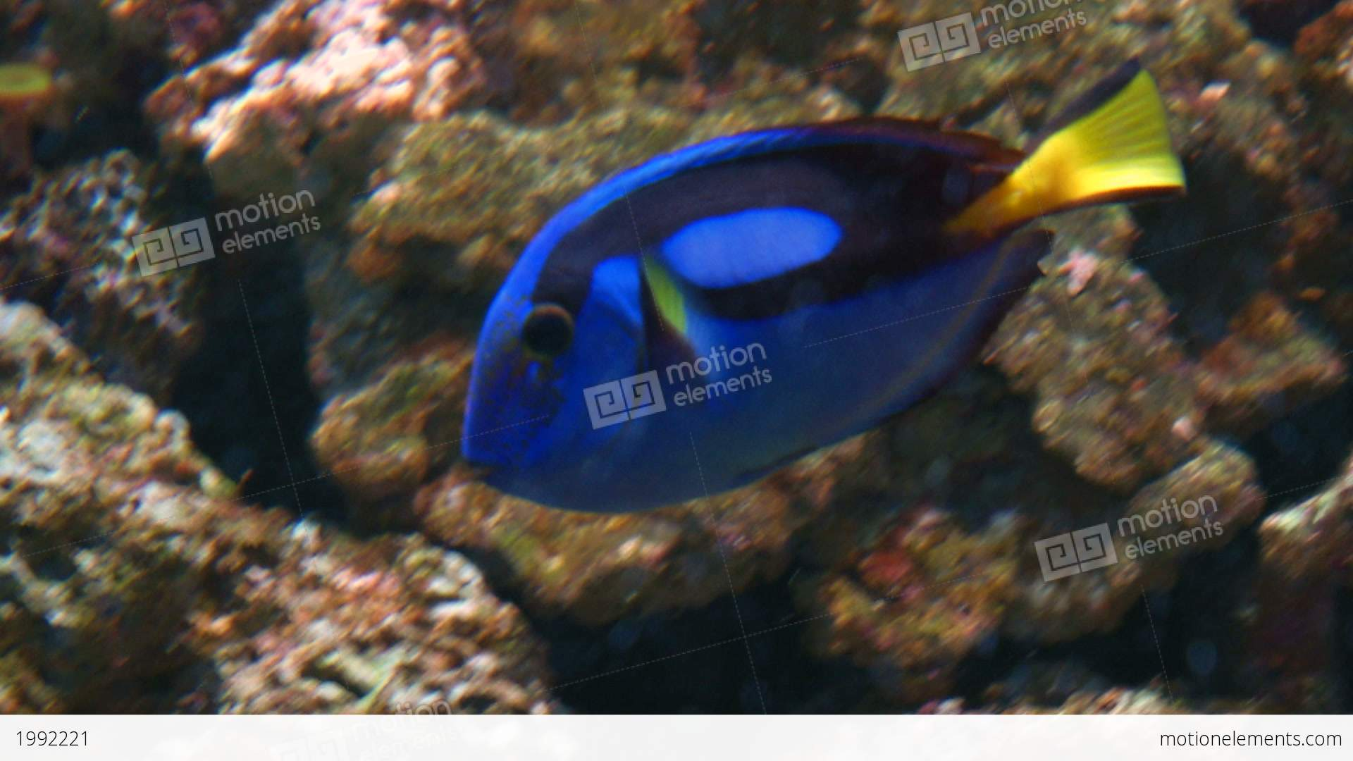 Powder blue tang stock video footage 1992221 for Blue tang fish price