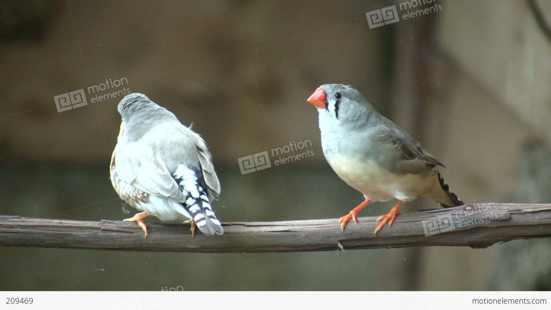 Excited zebra finch birds are perched on branch high definition excited zebra finch birds are perched on branch high stock video footage biocorpaavc