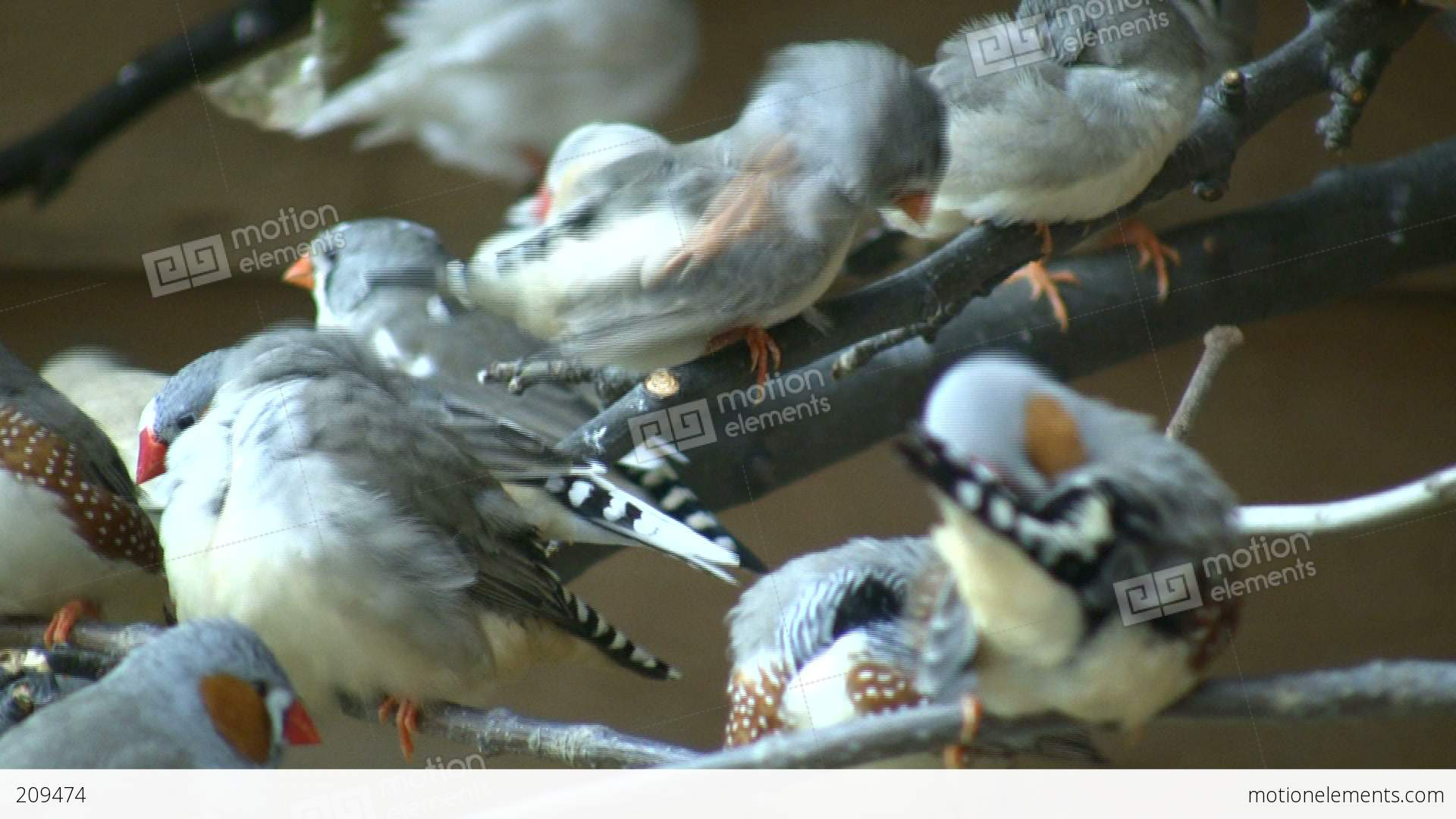 Community of zebra finches are grooming themselves high community of zebra finches are grooming themselves high stock video footage biocorpaavc