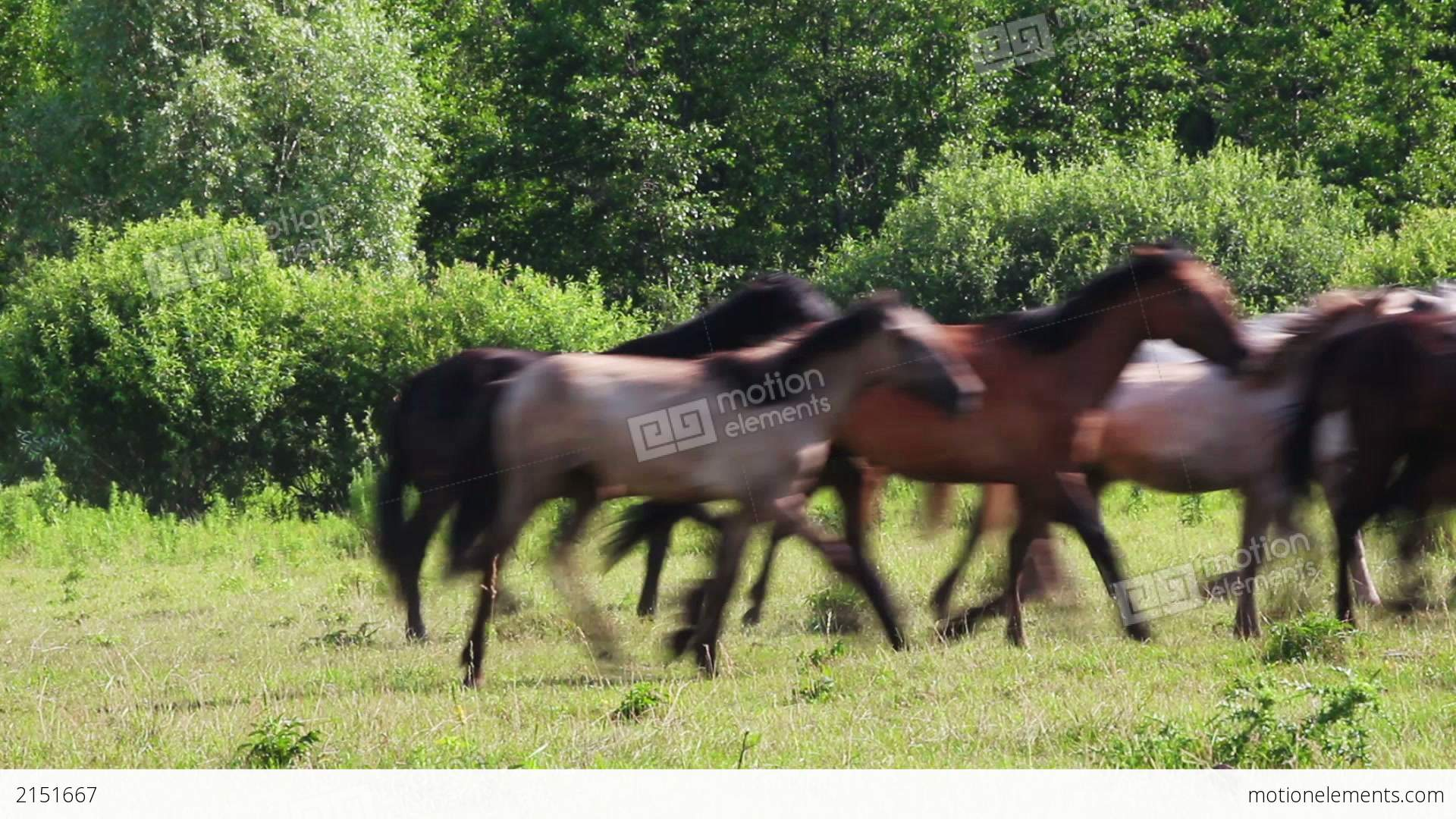Herd Of Horses Running On Pasture Stock video footage ... - photo#45