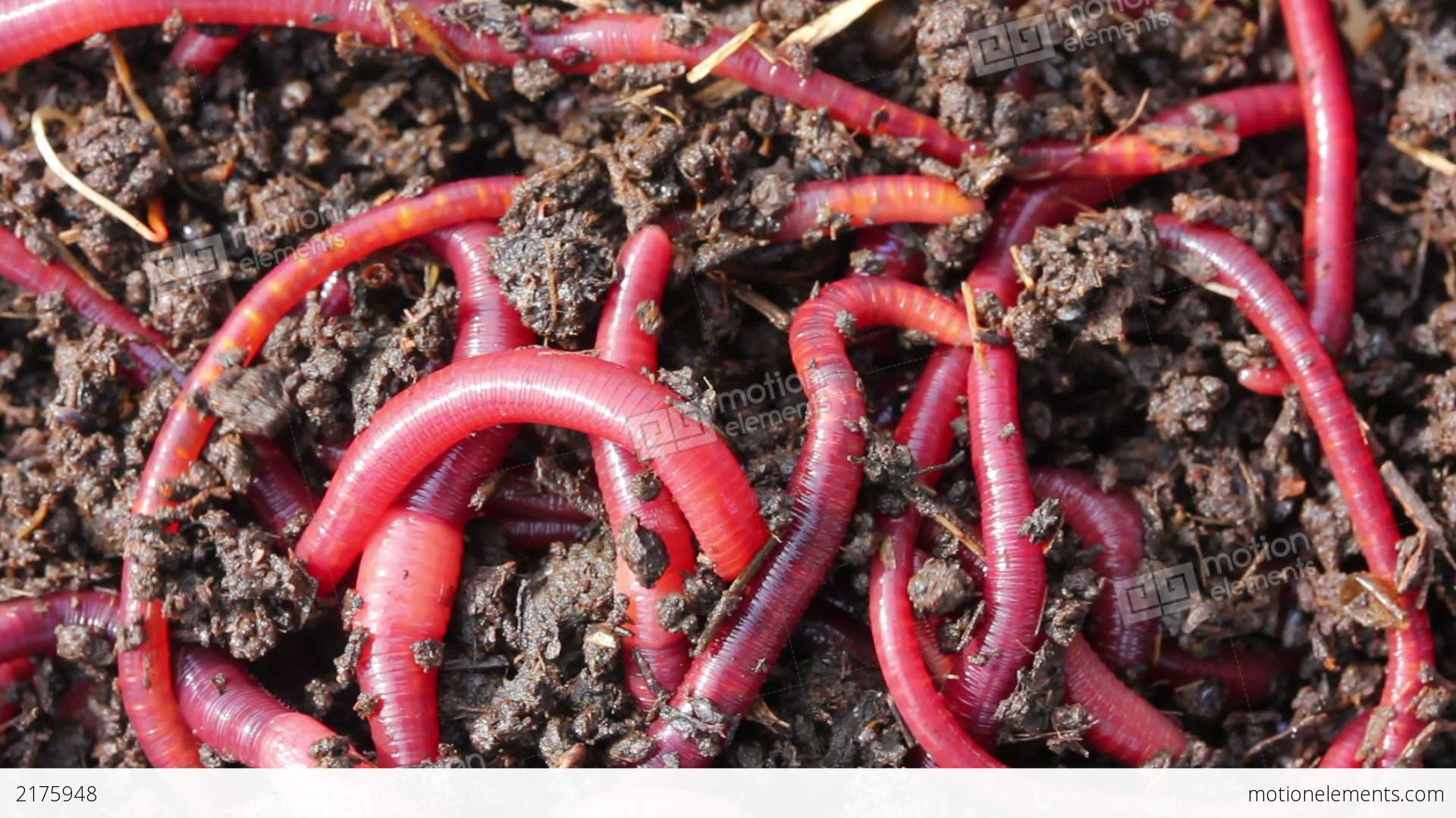 Many Red Worms In Dirt Bait For Fishing Stock Video