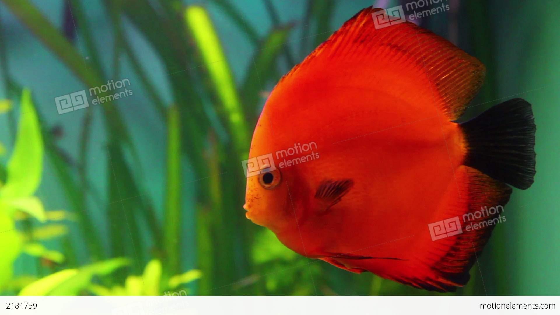 Discus Fish Images Gallery >> Aquascaping Red Rose Discus Fish 5 6 ...
