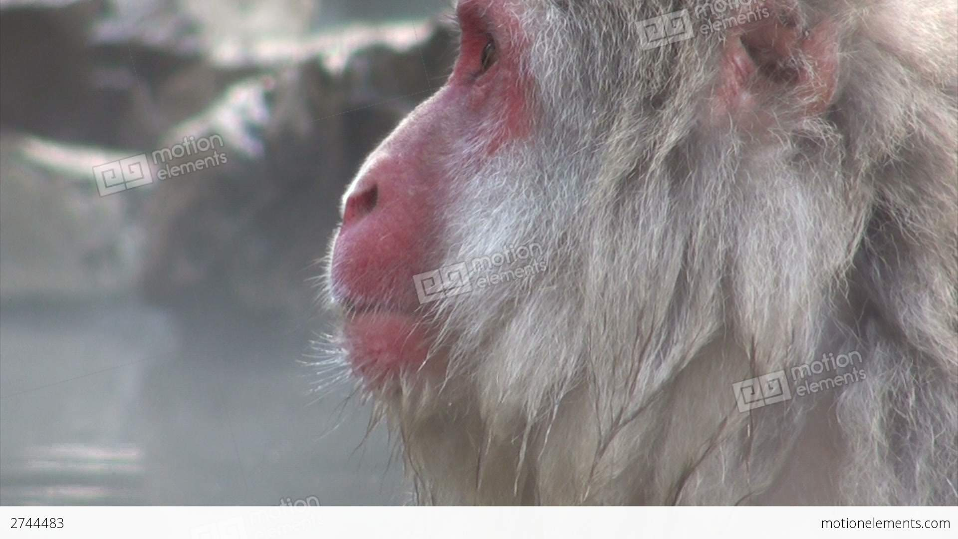 Beautiful Face Of Famous Snow Monkey In Japan Stock Video Footage