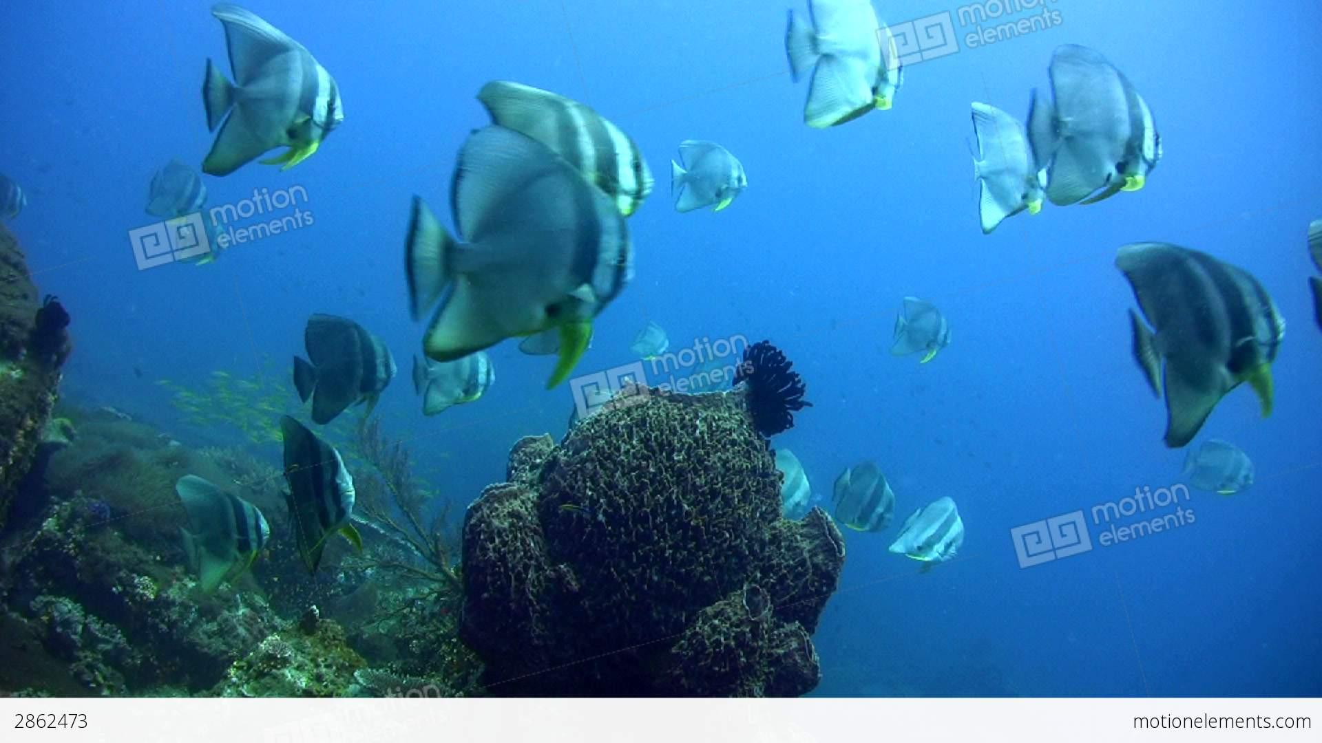 Batfish Saler | Tall Fin Batfish Platax Teira In School Around B Stock Video