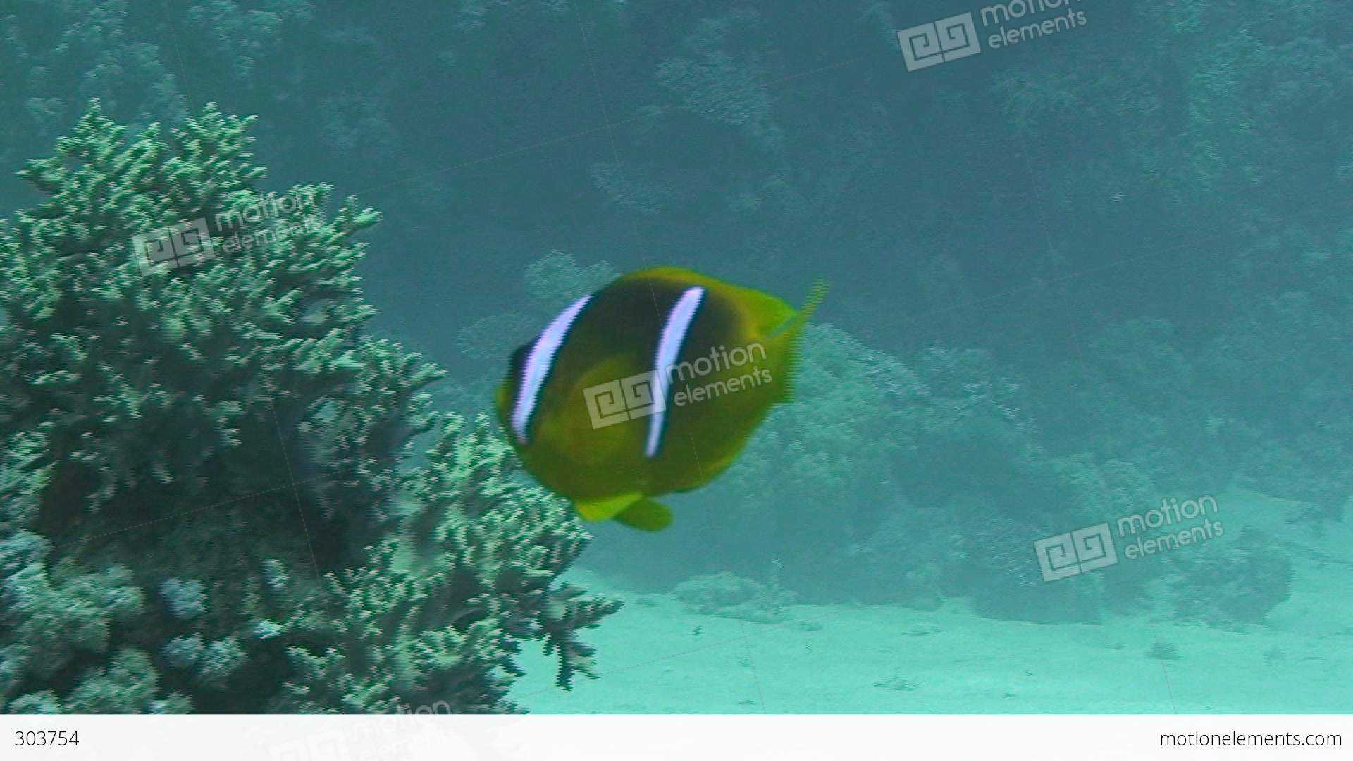 Anemone fish swimming stock video footage 303754 for Fish swimming video
