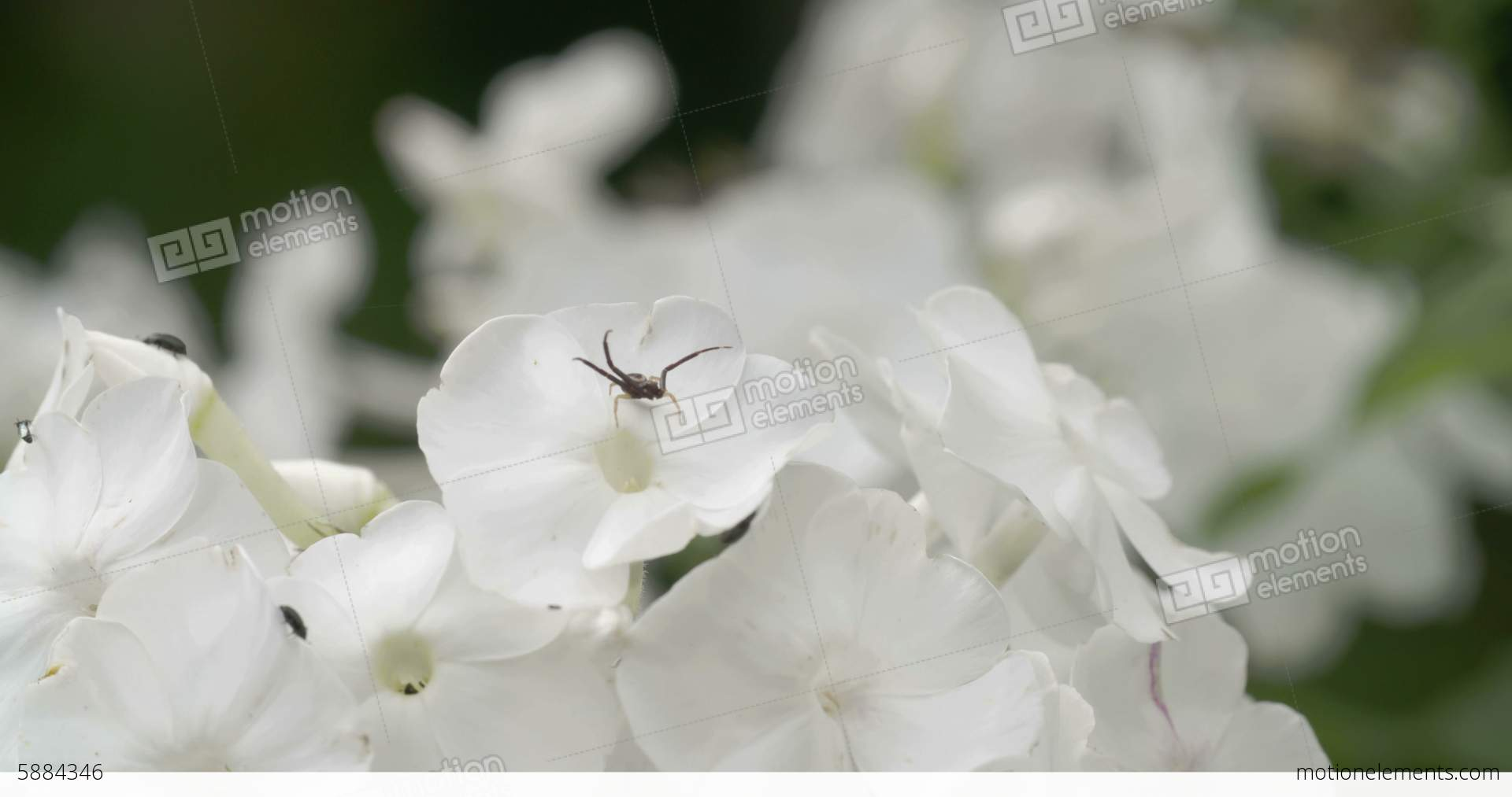 Lots Of White Flowers With The Spider And Insects Stock Video