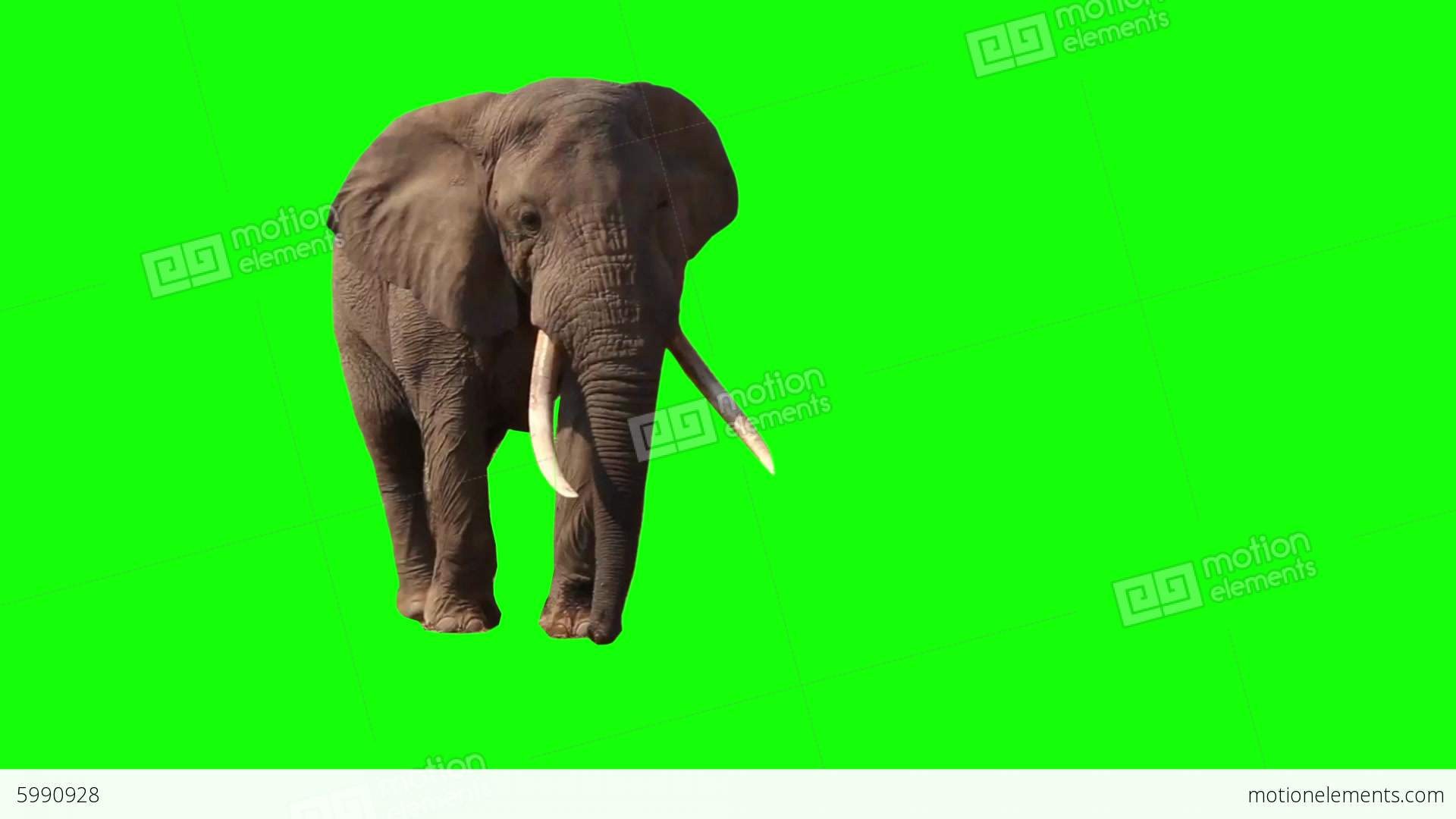 Must see Wallpaper Home Screen Elephant - me5990928-african-elephant-close-up-green-screen-kenya-hd-a0125  Collection_704179.jpg