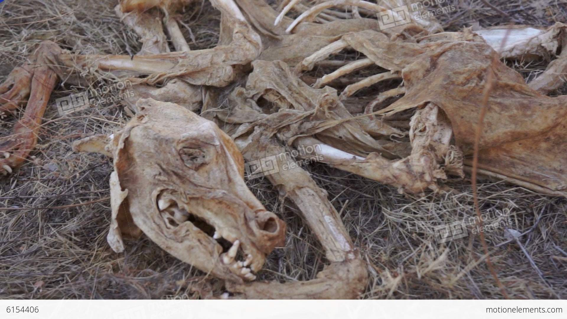 Carcass Skeleton Dead Animal Stock Video Footage 6154406