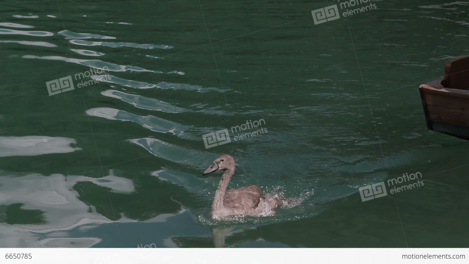 Brown Duck Swimming Stock video footage | 6650785
