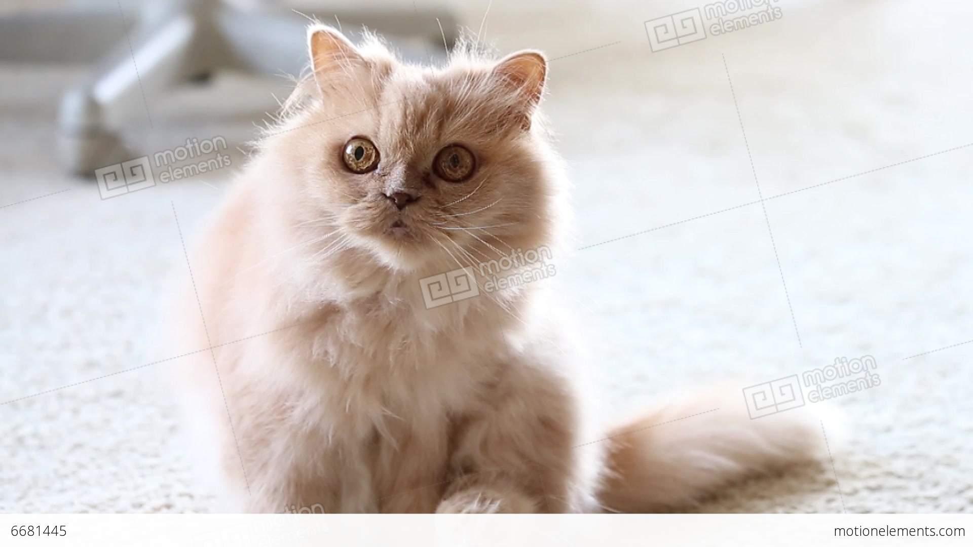 neuter a male cat