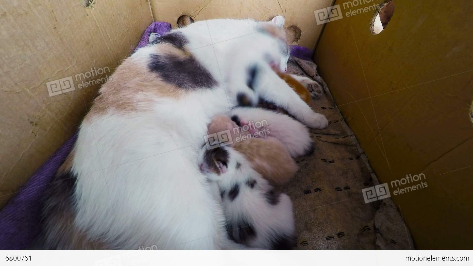 Cat Breast Feeding Kittens Newborn Kittens With A Stock video