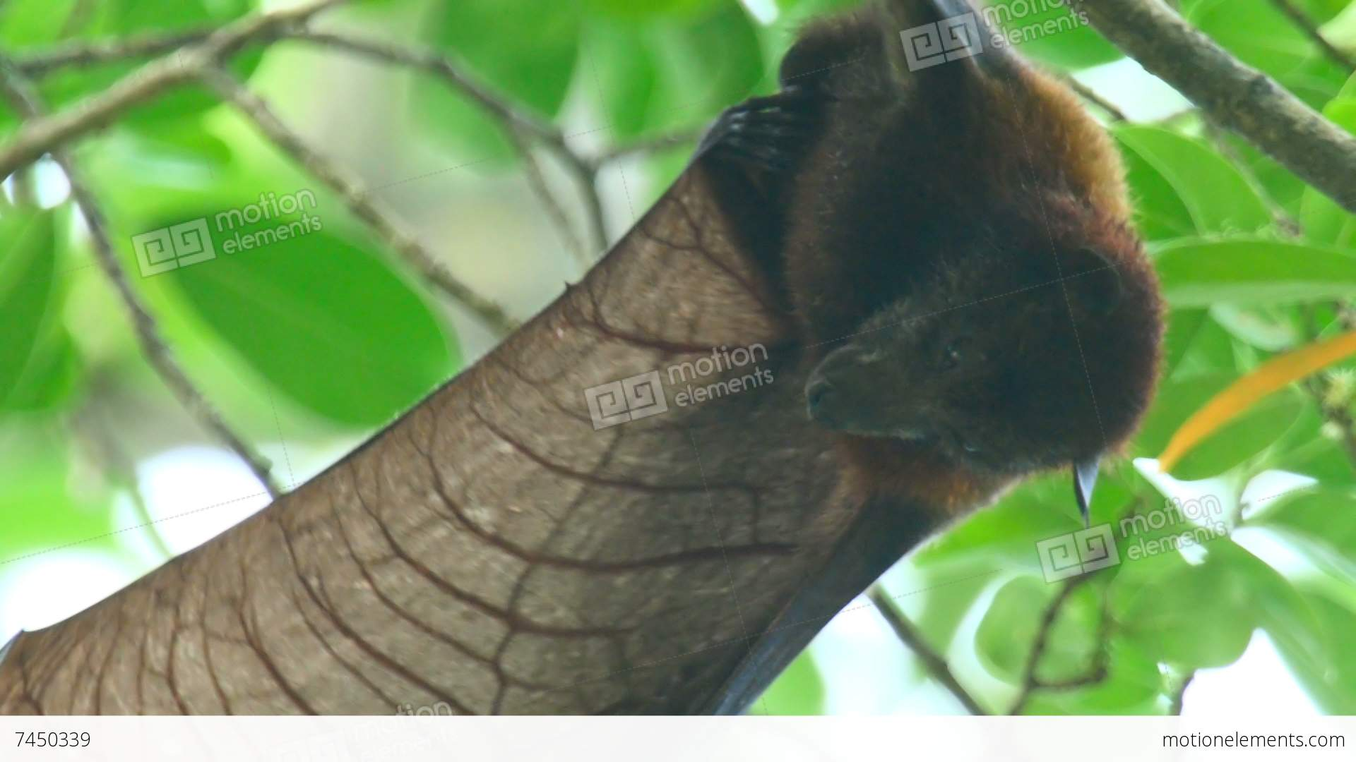 Flying fox stock video footage 7450339 for Flying fox fish
