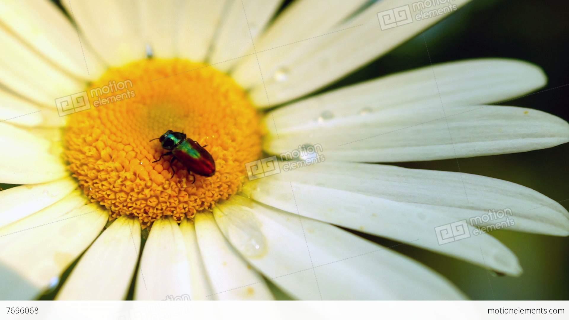 Daisy chrysanthemum leucanthemum with water drops and bugs stock daisy chrysanthemum leucanthemum with water drops and bugs stock video footage izmirmasajfo