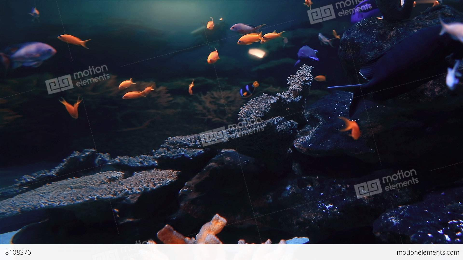 Tropical fish swimming in a tank stock video footage 8108376 for Fish swimming video