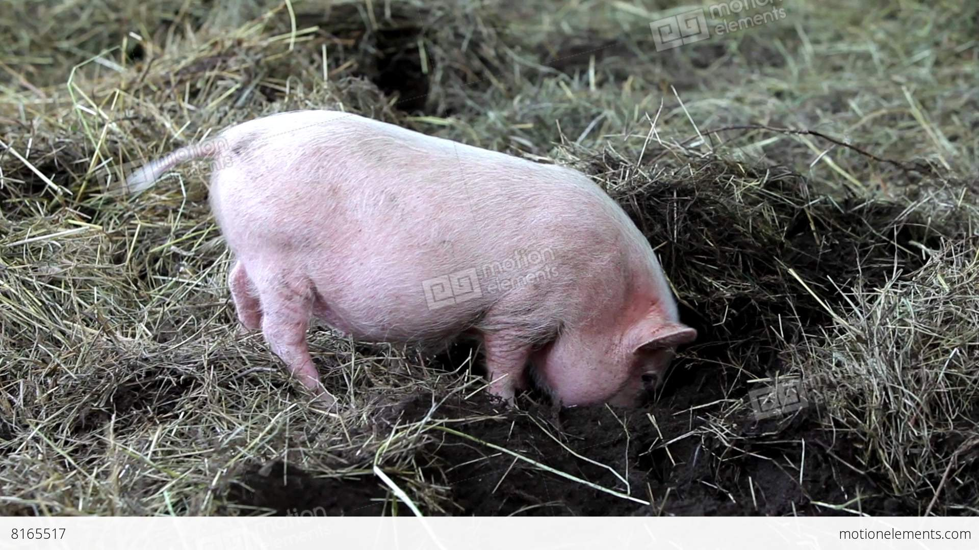 Pig Digs Nose To The Ground. Pig Is Digging The Ground 영상 ...