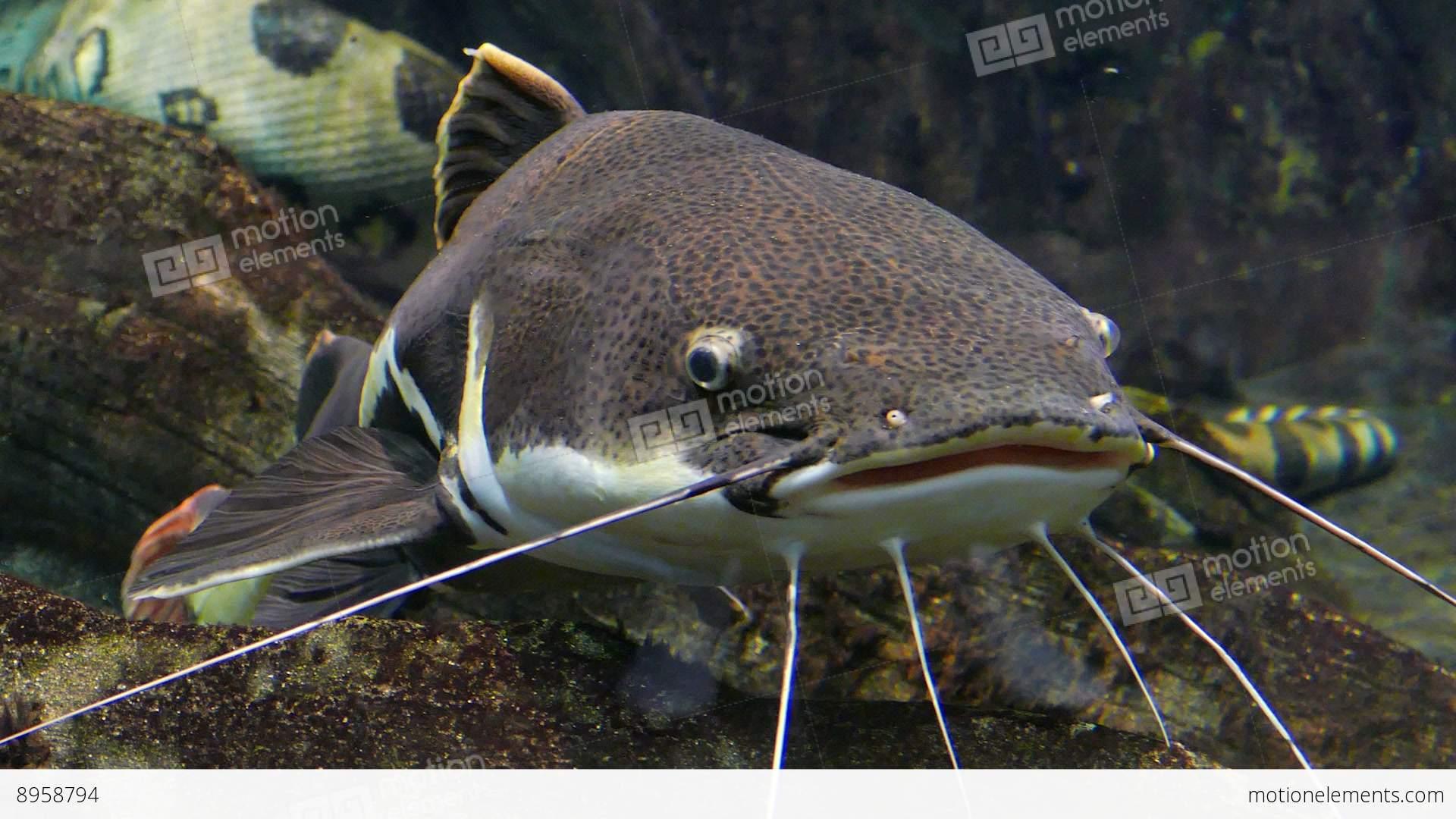 redtail catfish phractocephalus hemioliopterus stock