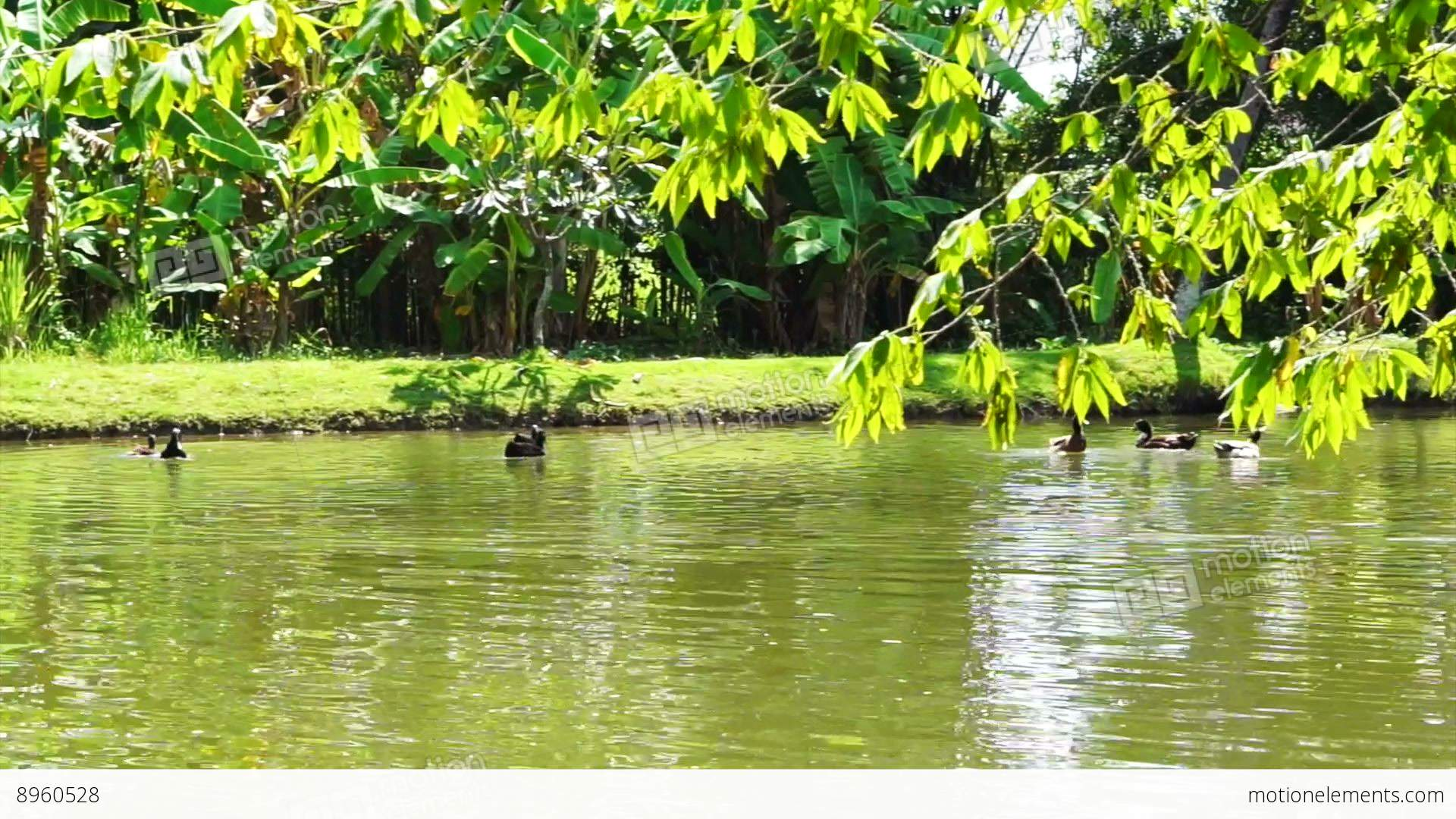 Ducks Swimming In Lake With Lush Green Nature Stock video ...