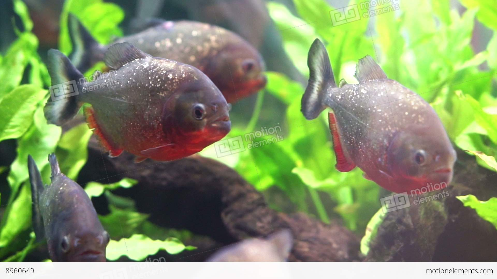 Freshwater aquarium fish library - Piranha Freshwater Fish In South American Rivers Aggressive And Love To Eat Mea Etoque De Filmagem Royalty Free Video Library 8960649