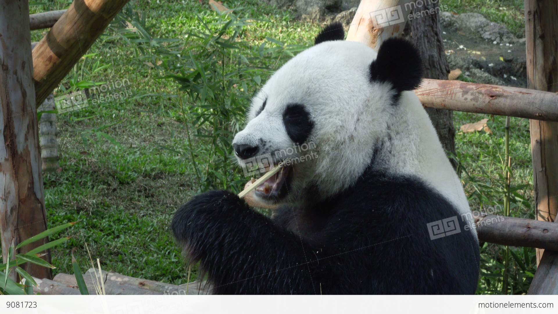Medium shot of a funny giant panda eating bamboo 9081723 medium shot of a funny giant panda eating bamboo voltagebd Choice Image