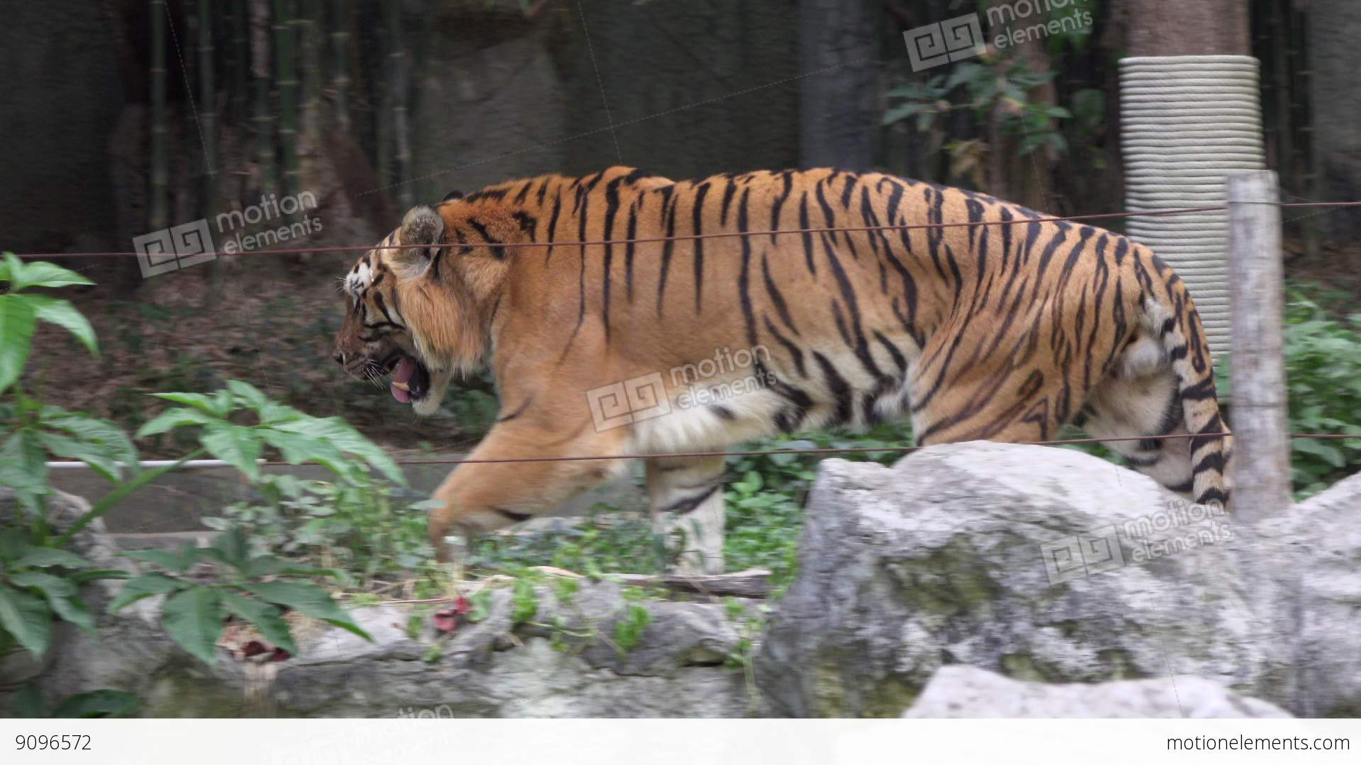Tiger Walking Back And Forth, Chiangmai Zoo , Thailand Stock video footage  ...