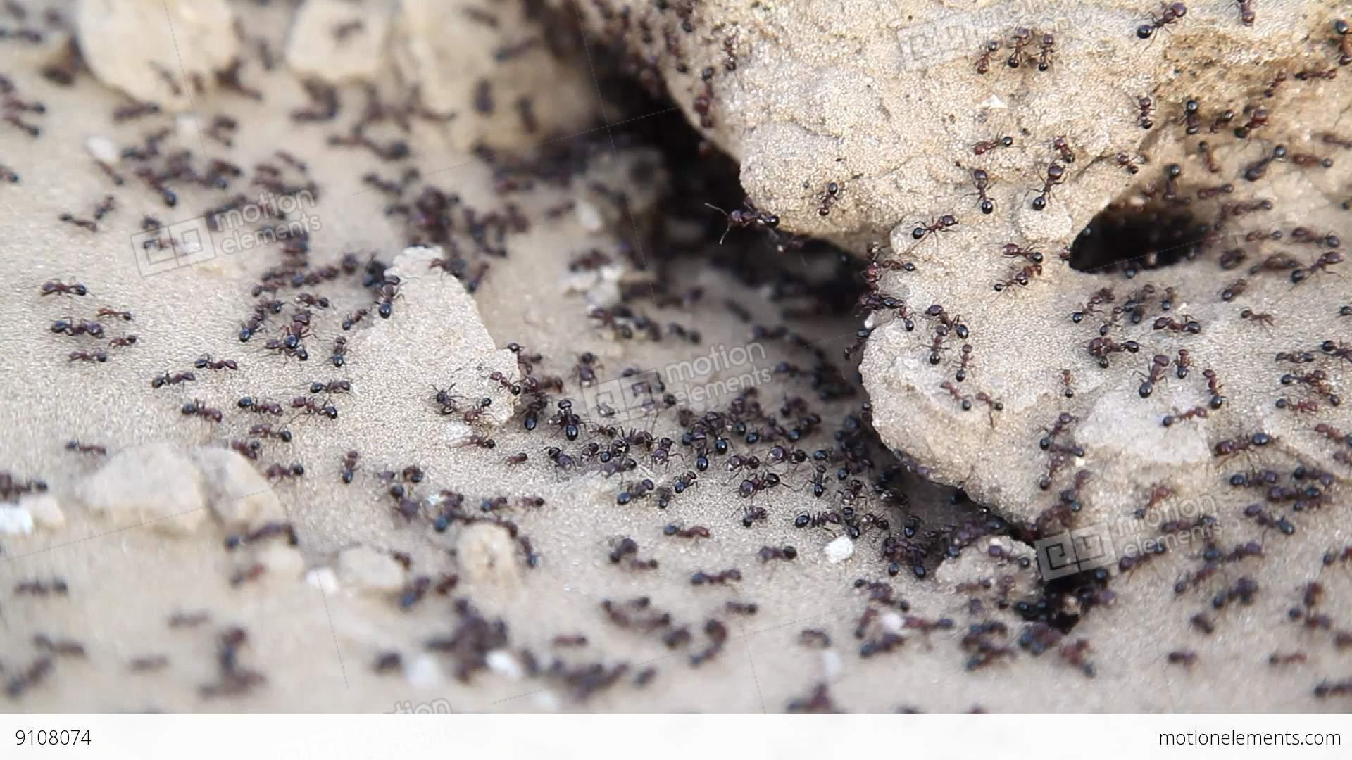 Black Ants Build Home In Dry, Desert Soil Stock video ...