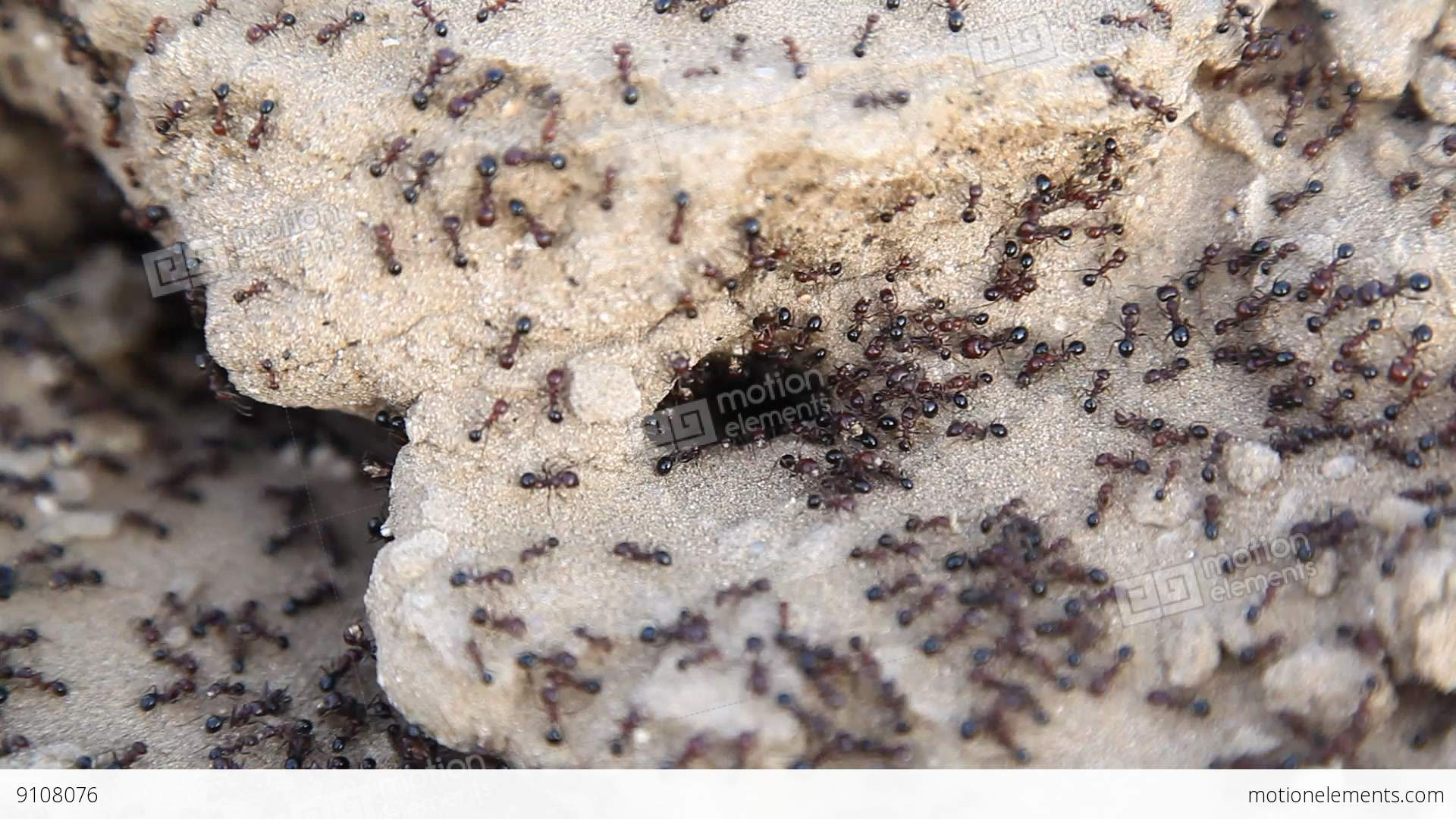 Black Ants Build Home In Dry, Desert Soil Stock video ...