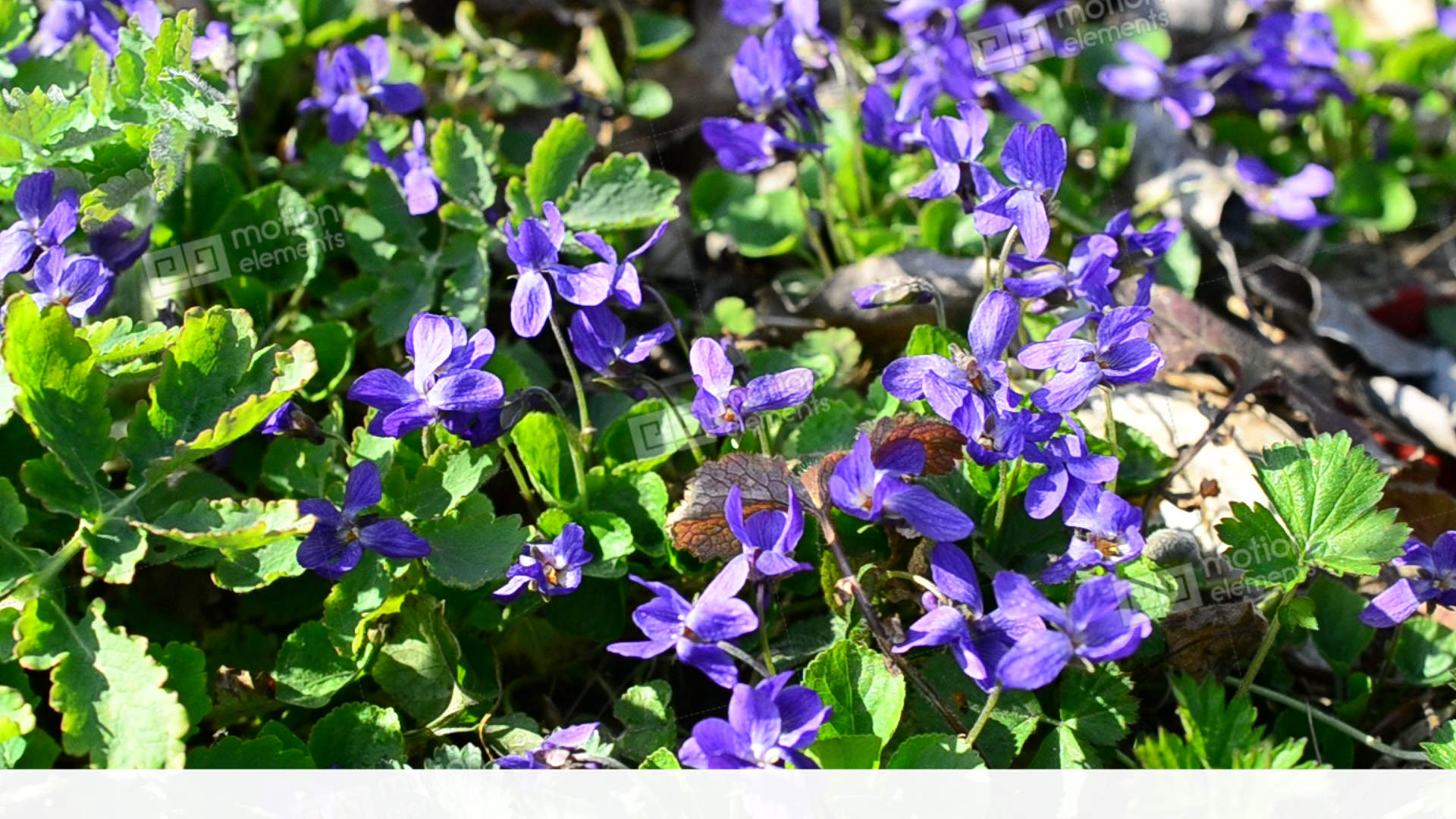 Violet Flowers With Bees And Other Insects On Spring Meadow Stock