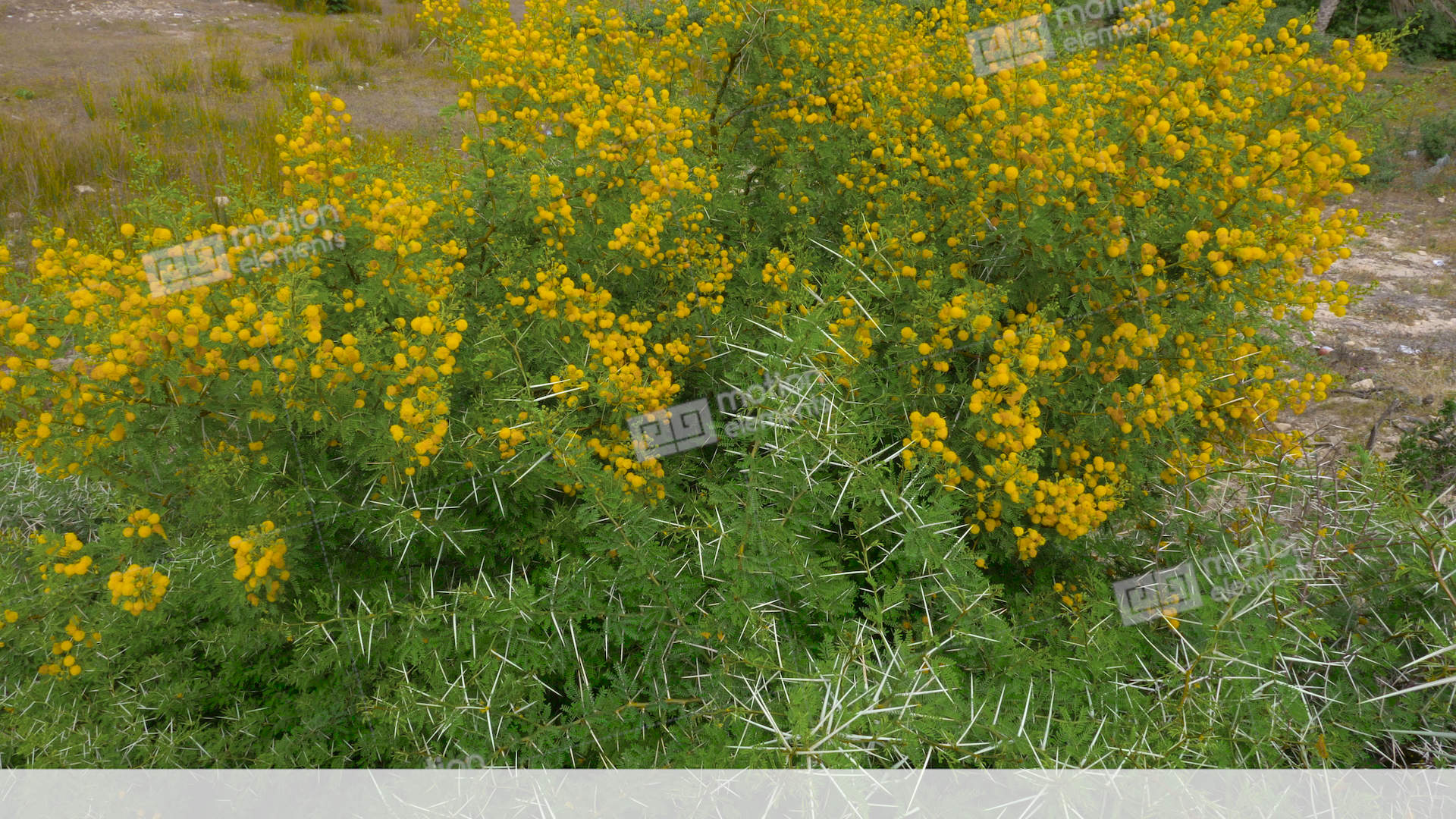 Yellow Flowers On Flowering Acacia Vahellia Karroo Bush In Wild