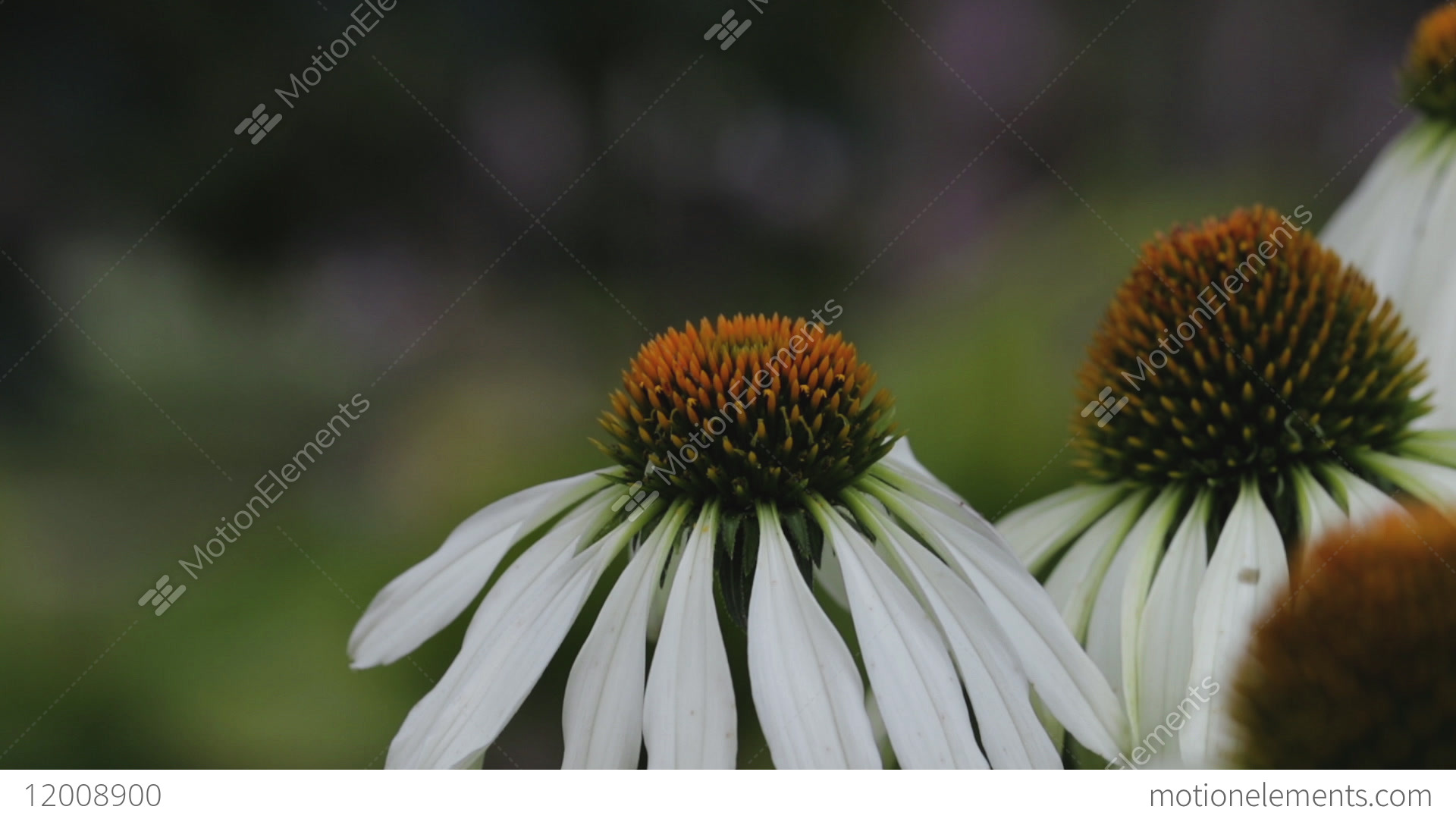 Beautiful daisy flowers images flowers healthy endangered bee pollinating a group of beautiful daisy stock video fooe endangered bee pollinating a group of beautiful daisy flowers in the izmirmasajfo