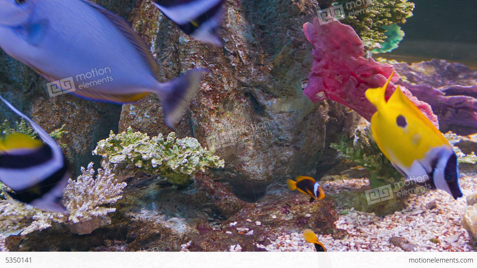 Colorful tropical fish in aquarium stock video footage for Colorful freshwater fish