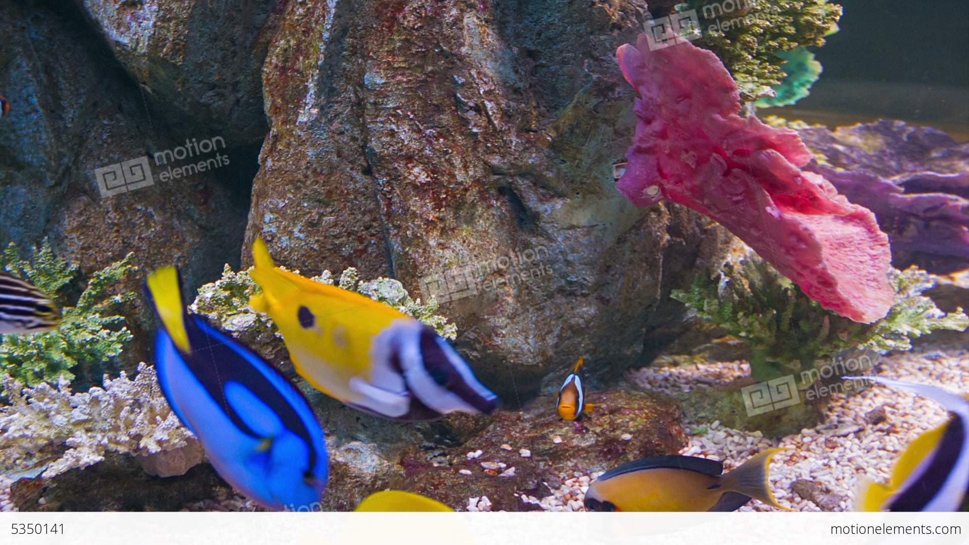 Colorful tropical fish in aquarium stock video footage for Tropical fish tank fish