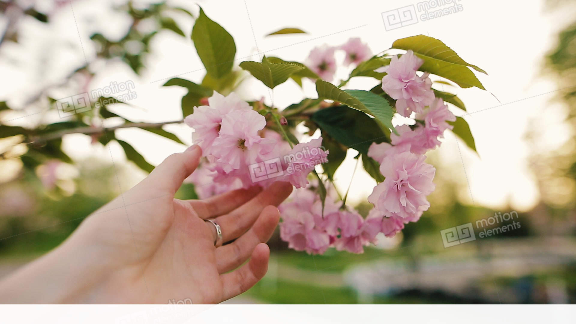 Female Hand Touching Blooming Sakura Flowers Or Cherry In Stock Video Footage