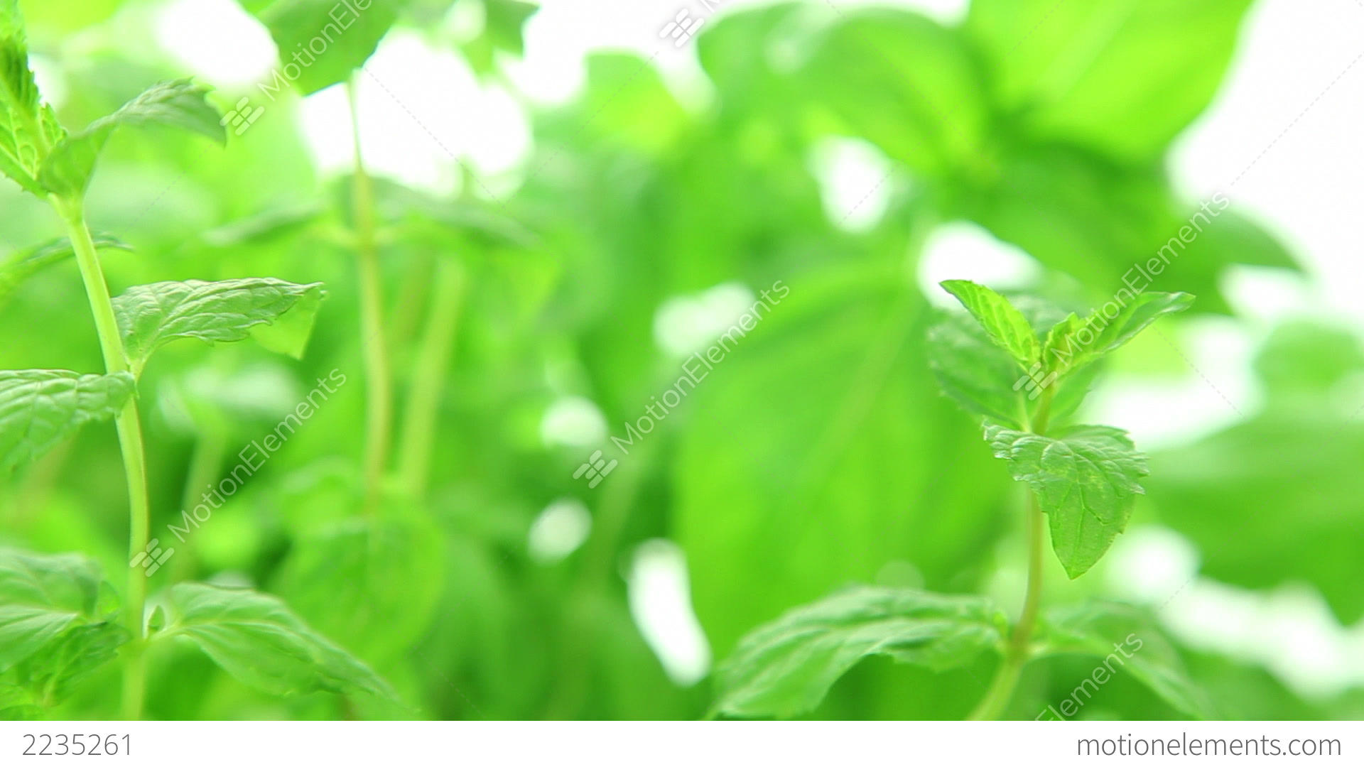 Fresh Mint Background Green Leaves Stock Video Footage
