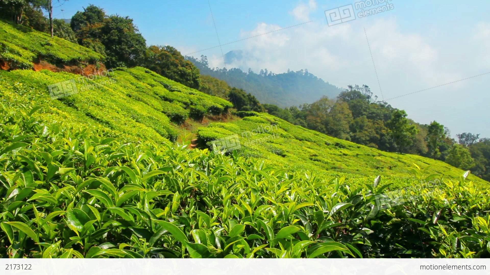 Mountain Tea Plantation In Munnar Kerala India Stock video ...