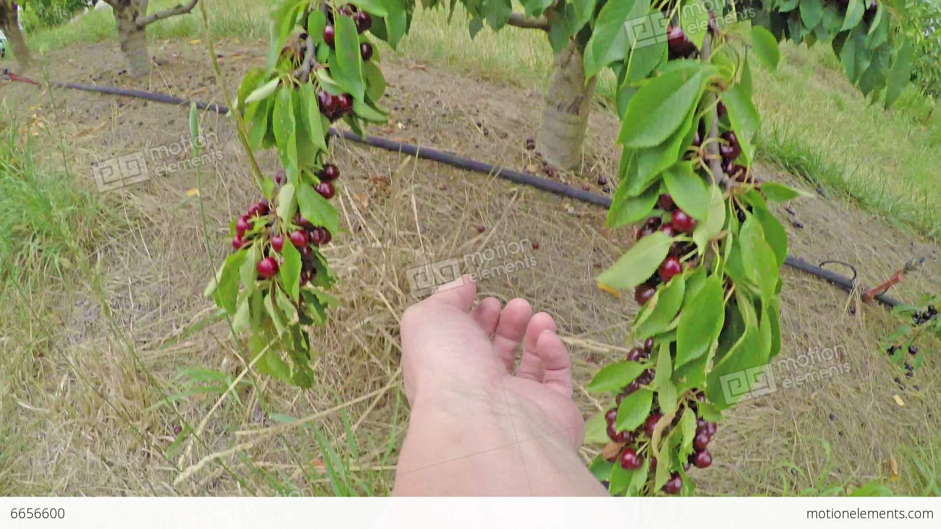 Cherry picking  Wikipedia