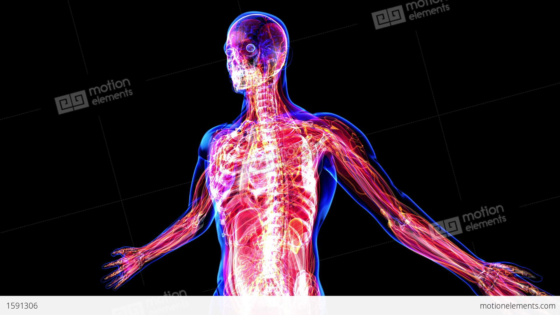 Anatomy Of The Human Body Stock Animation | 1591306