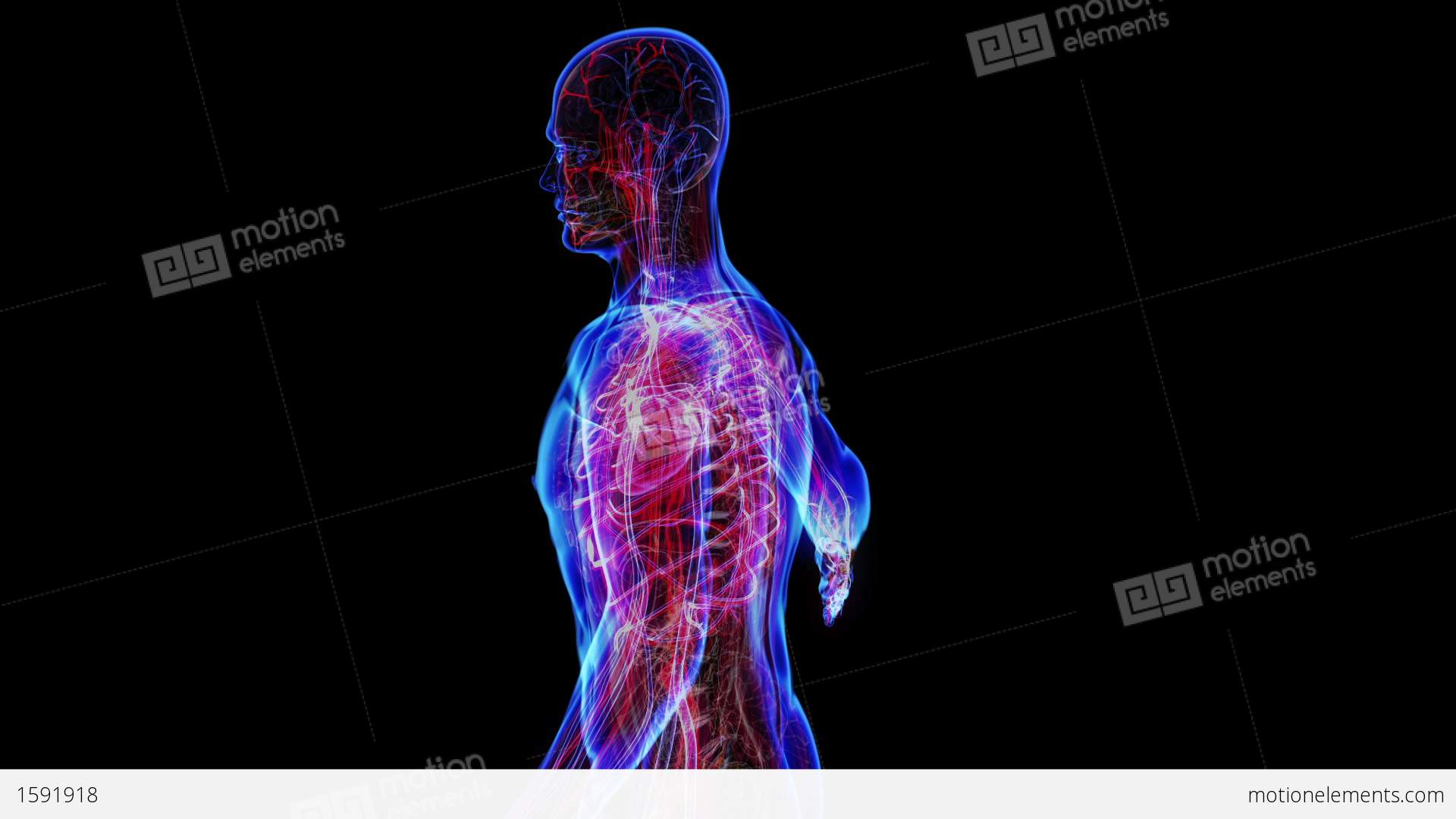 3d Diagram Of Digestive System Human Intestinal Tract Diagram Clipart Of A 3d Labeled Diagram Of 2 further Layers Of The Alimentary Canal Anatomy Digestive System 6 likewise Female Digestive System Diagram Female Digestive System Diagram Anatomy Digestive System Digestive 3 besides 319263061058572109 also Organs Of The Circulatory System Anatomy Organs Of The Cardiovascular System Organs Circulatory System. on human circulatory system video