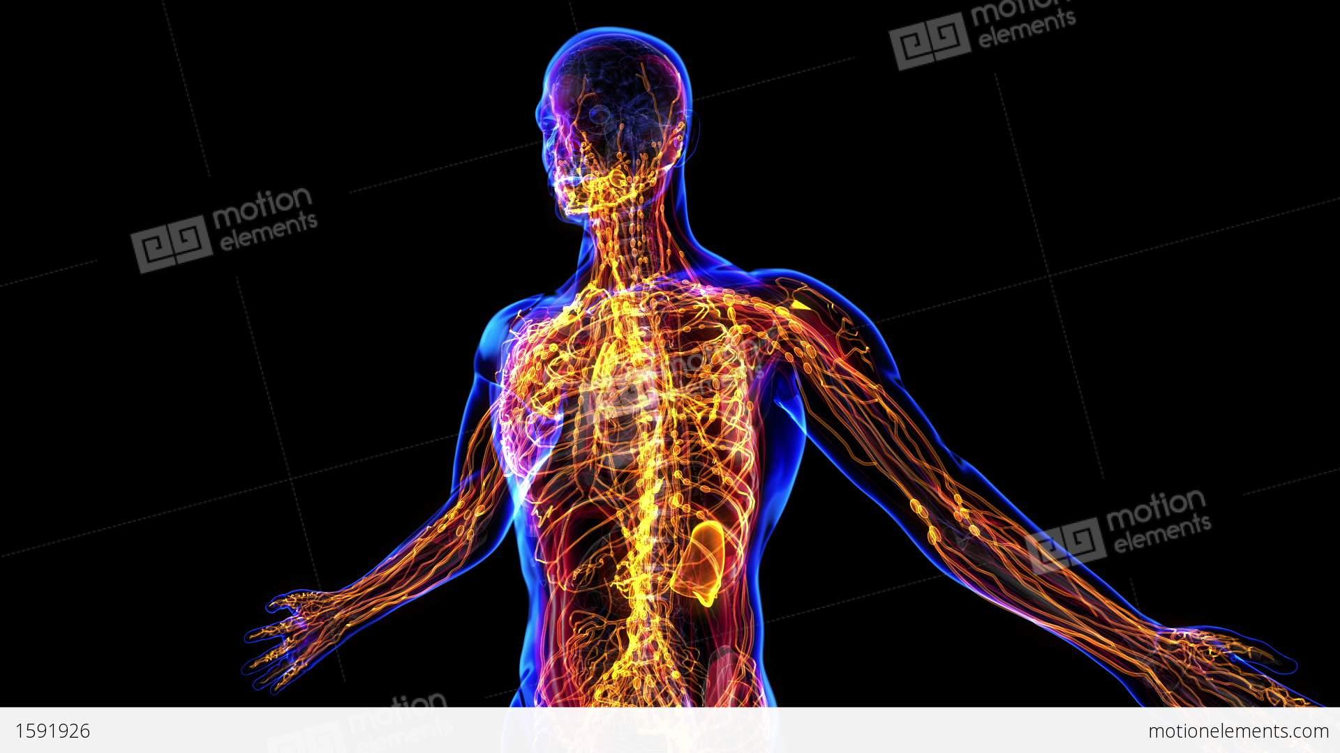 Anatomy of lymphatic system