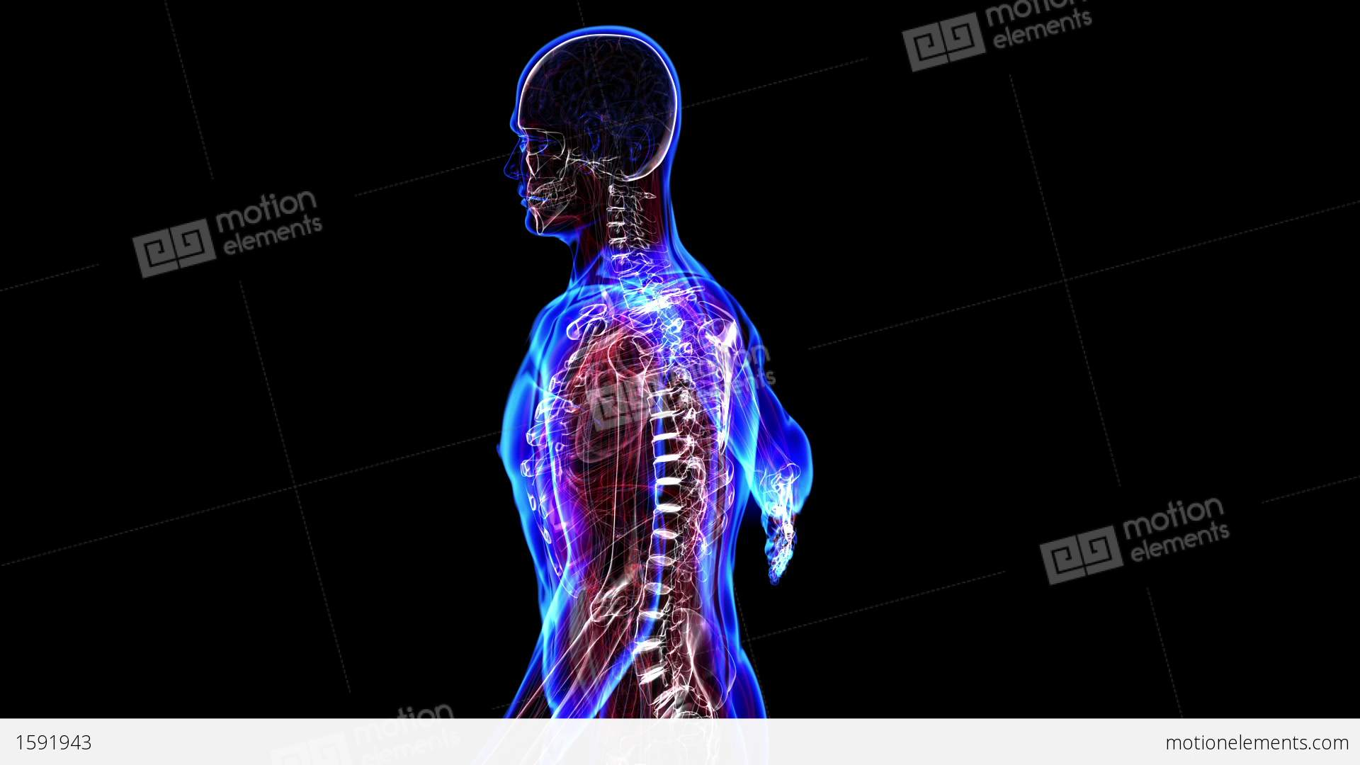 human skeleton stock animation | royalty-free stock animation, Skeleton