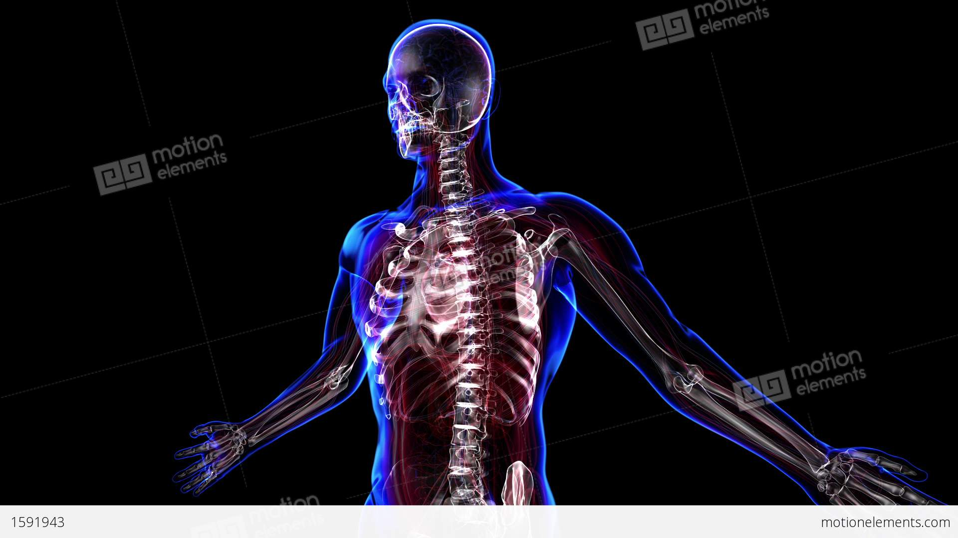 human skeleton stock animation | 1591943, Skeleton