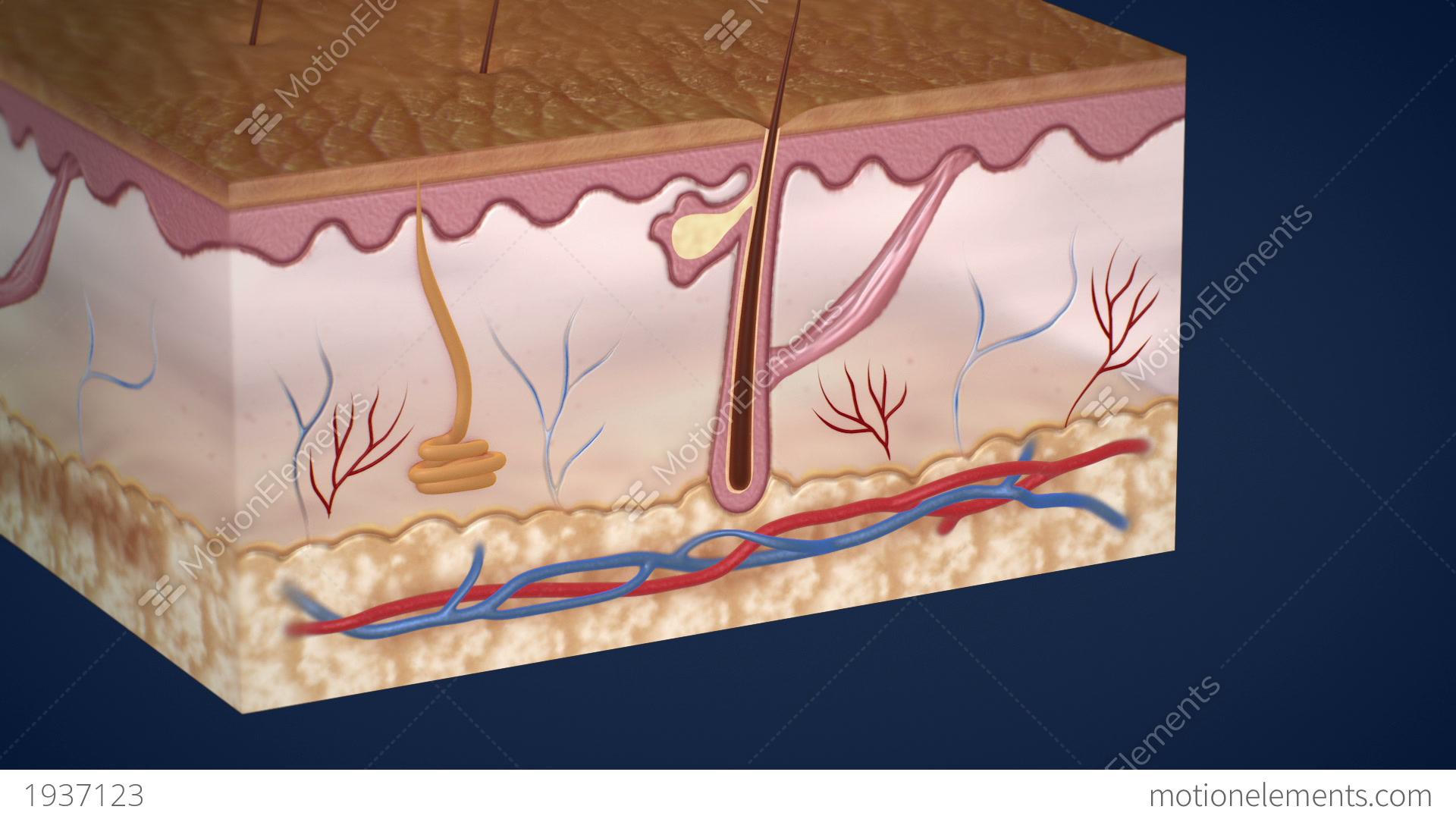 Unique Anatomy Of Skin Adornment - Human Anatomy Images ...