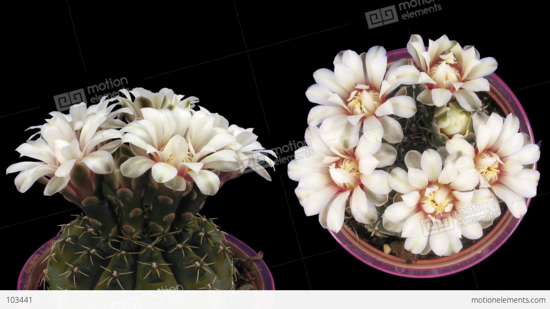 Time Lapse White Cactus Opening 6d Isolated Black Two Synchronised
