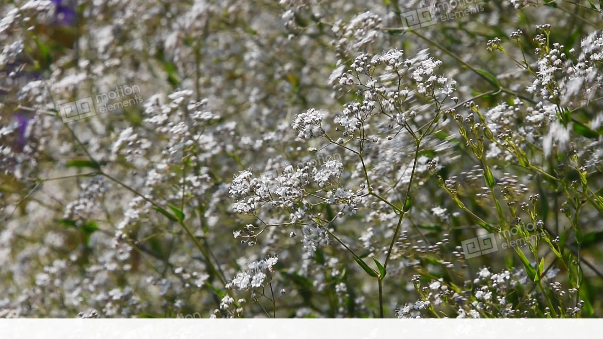 Gypsophila Paniculata Common White Flowers Stock Video Footage
