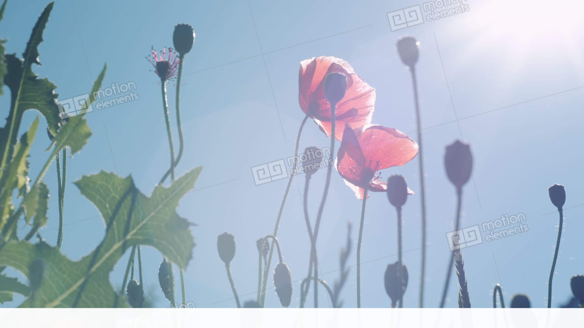 Poppy Flowers Against The Blue Sky Swaying In The Wind Stock Video