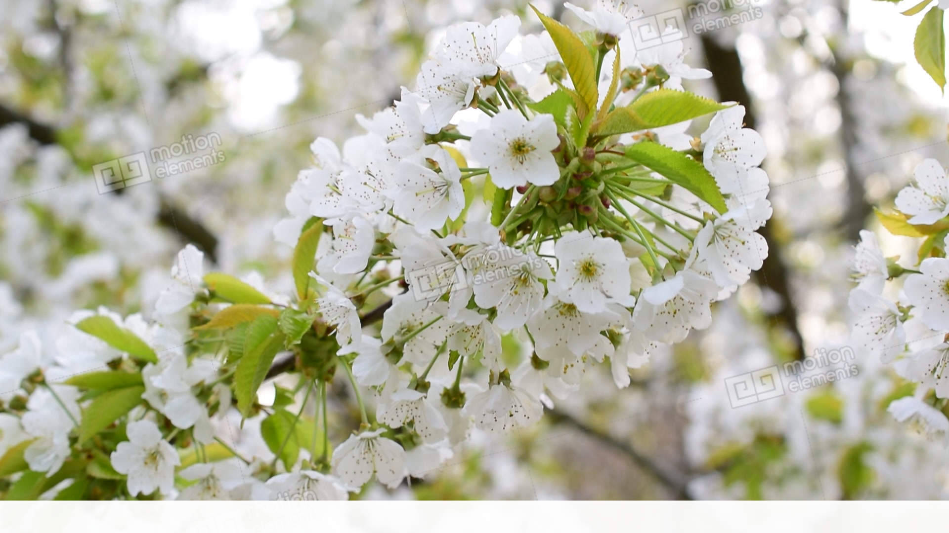 Blossoming White Cherry Tree Flowers Swaying In Breeze Stock Video