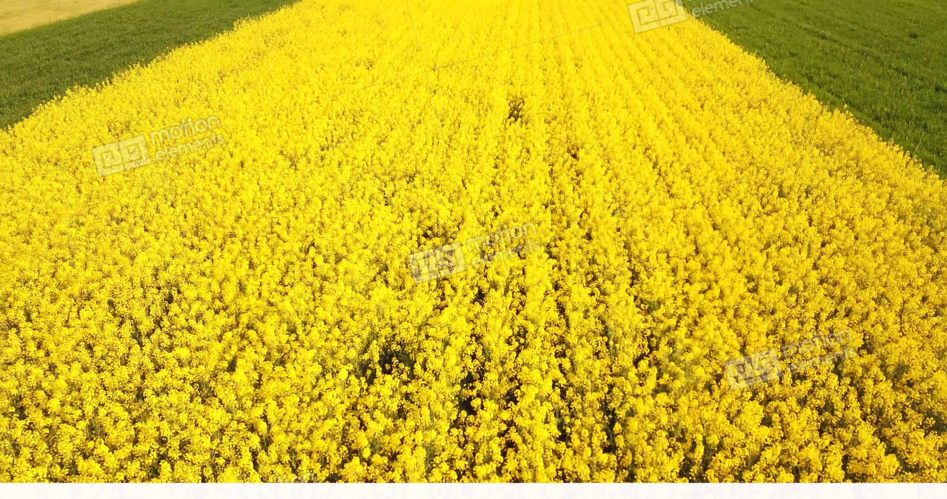 Field With Yellow Flowers Of Rapeseed In Northern Italy Stock Video