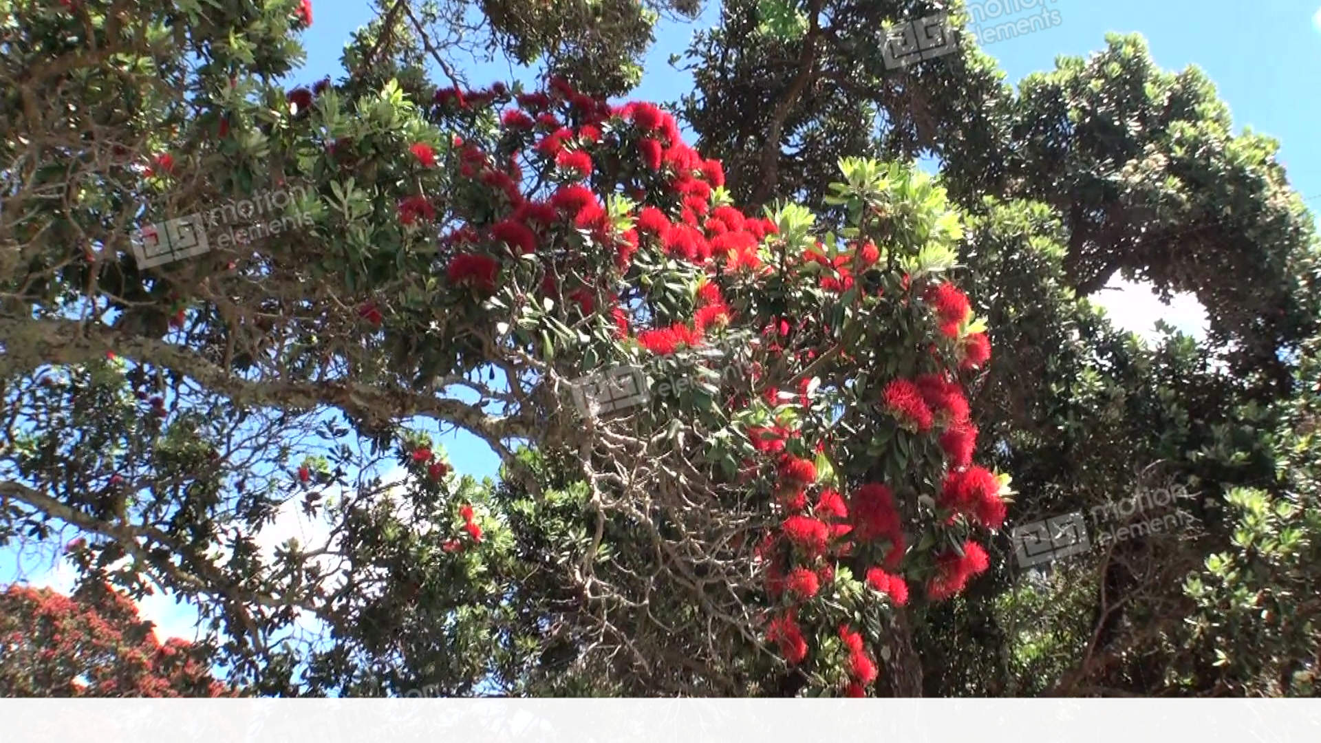 Amazing Beautiful Tree With Red Flowers In New Zealand Stock Video